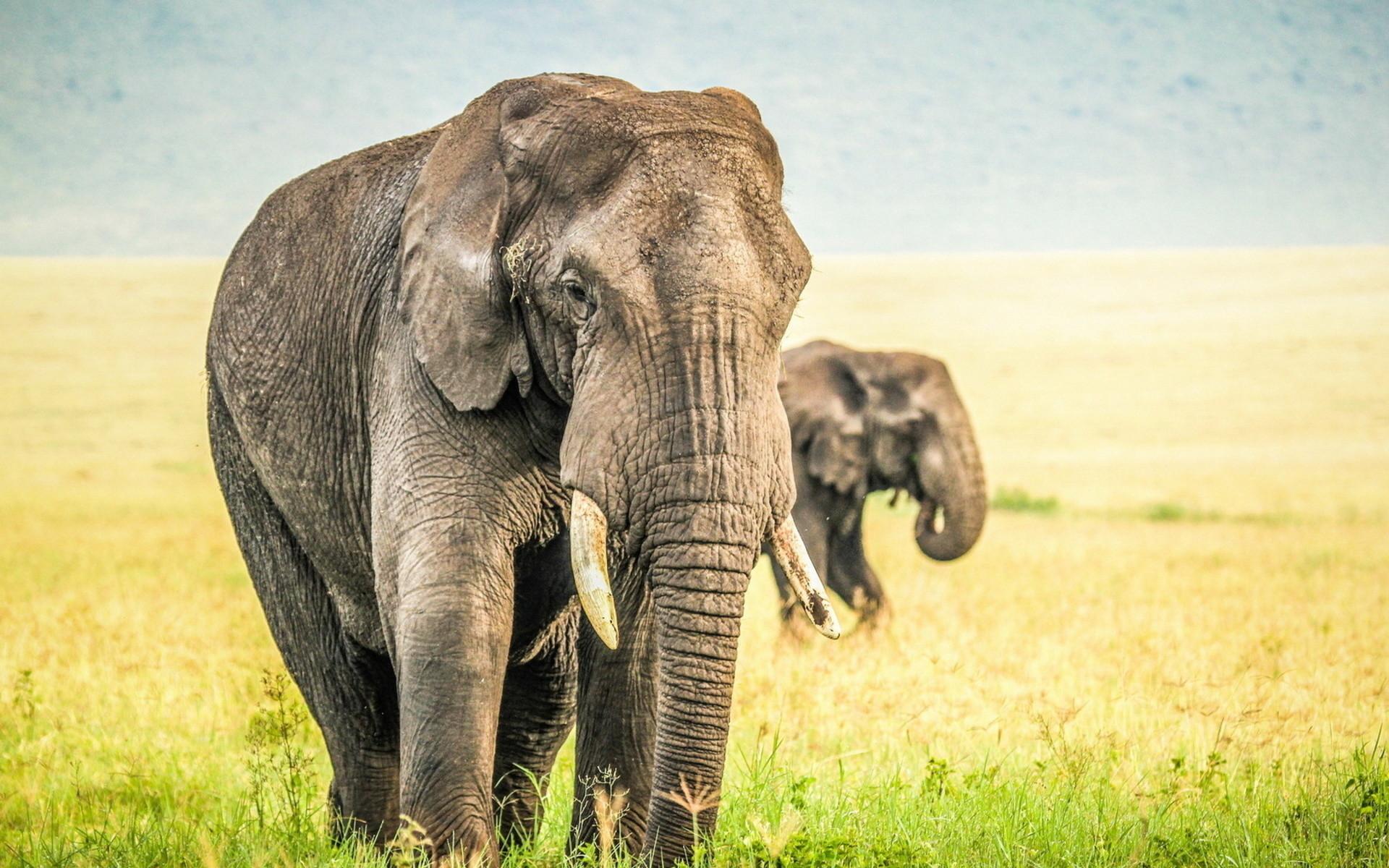 Res: 1920x1200, elephant desktop wallpaper