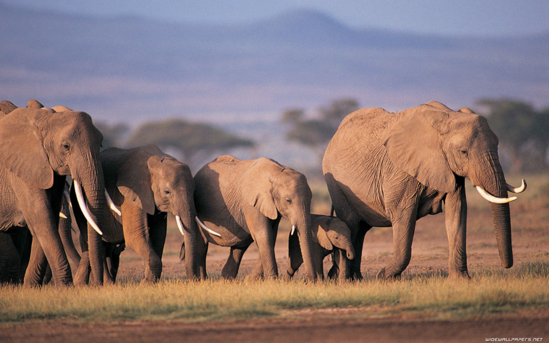 Res: 1920x1200, Elephants wide wallpapers and HD wallpapers