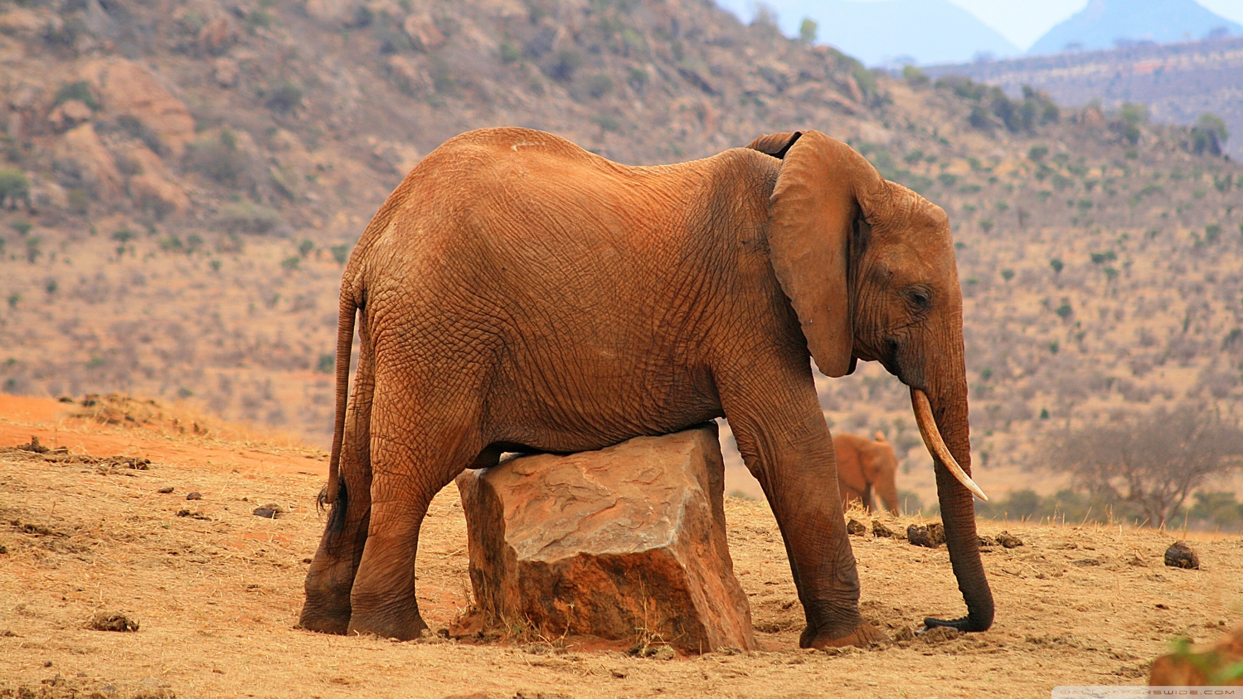 Res: 2560x1440, elephant wallpaper hd photo - 1