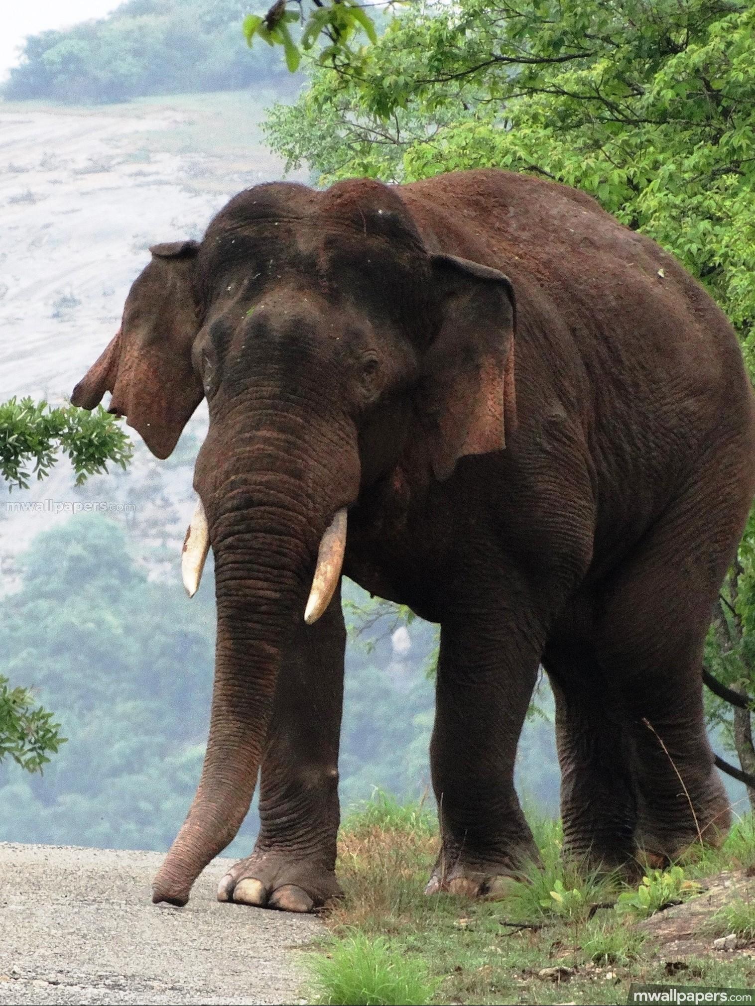 Res: 1516x2021, Elephants HD Photos & Wallpapers (1080p) - elephants,animal,hd images,