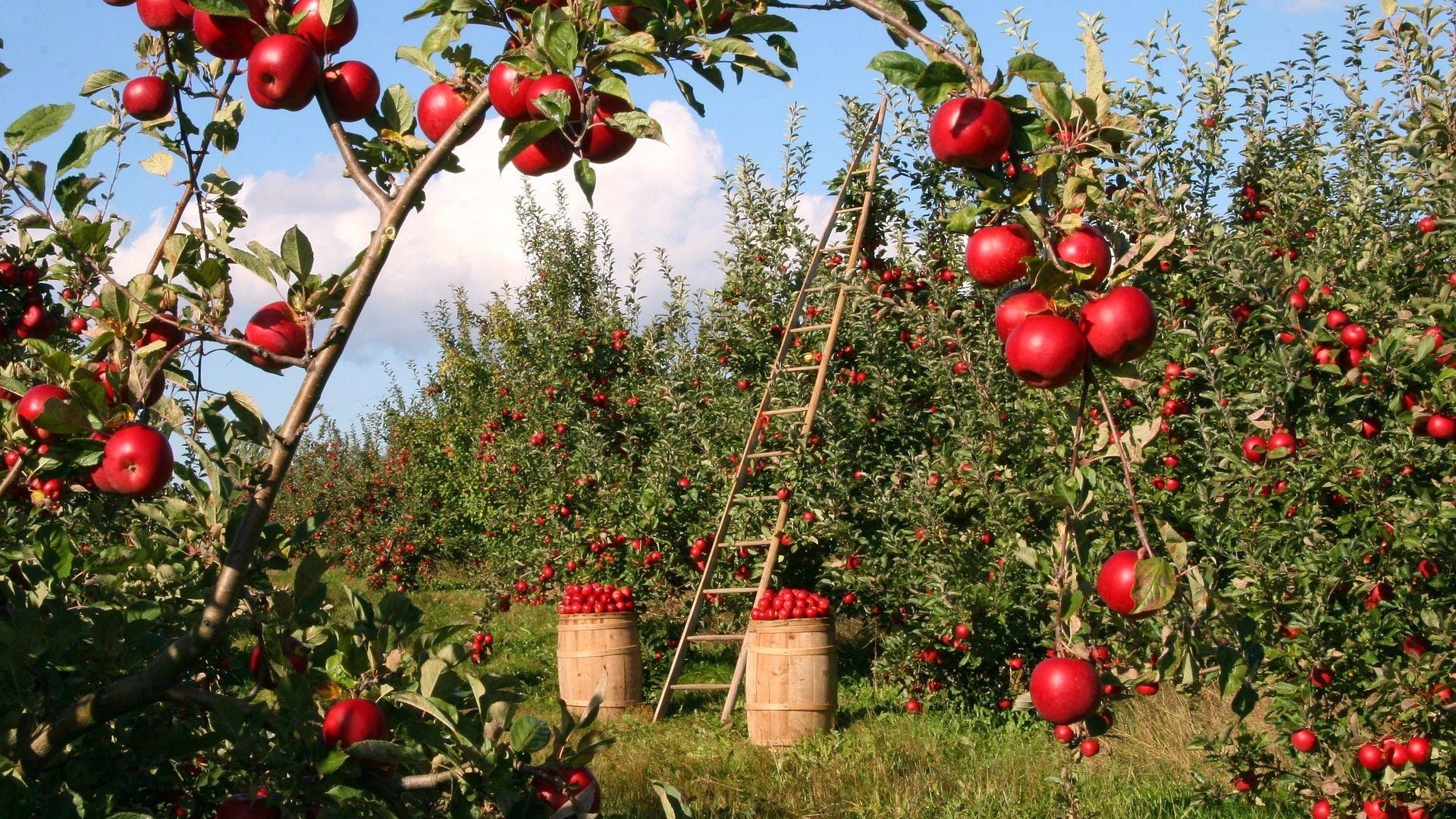 Res: 1920x1080, Apple Trees Garden HD Wallpaper