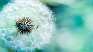 Blowing Dandelion wallpapers