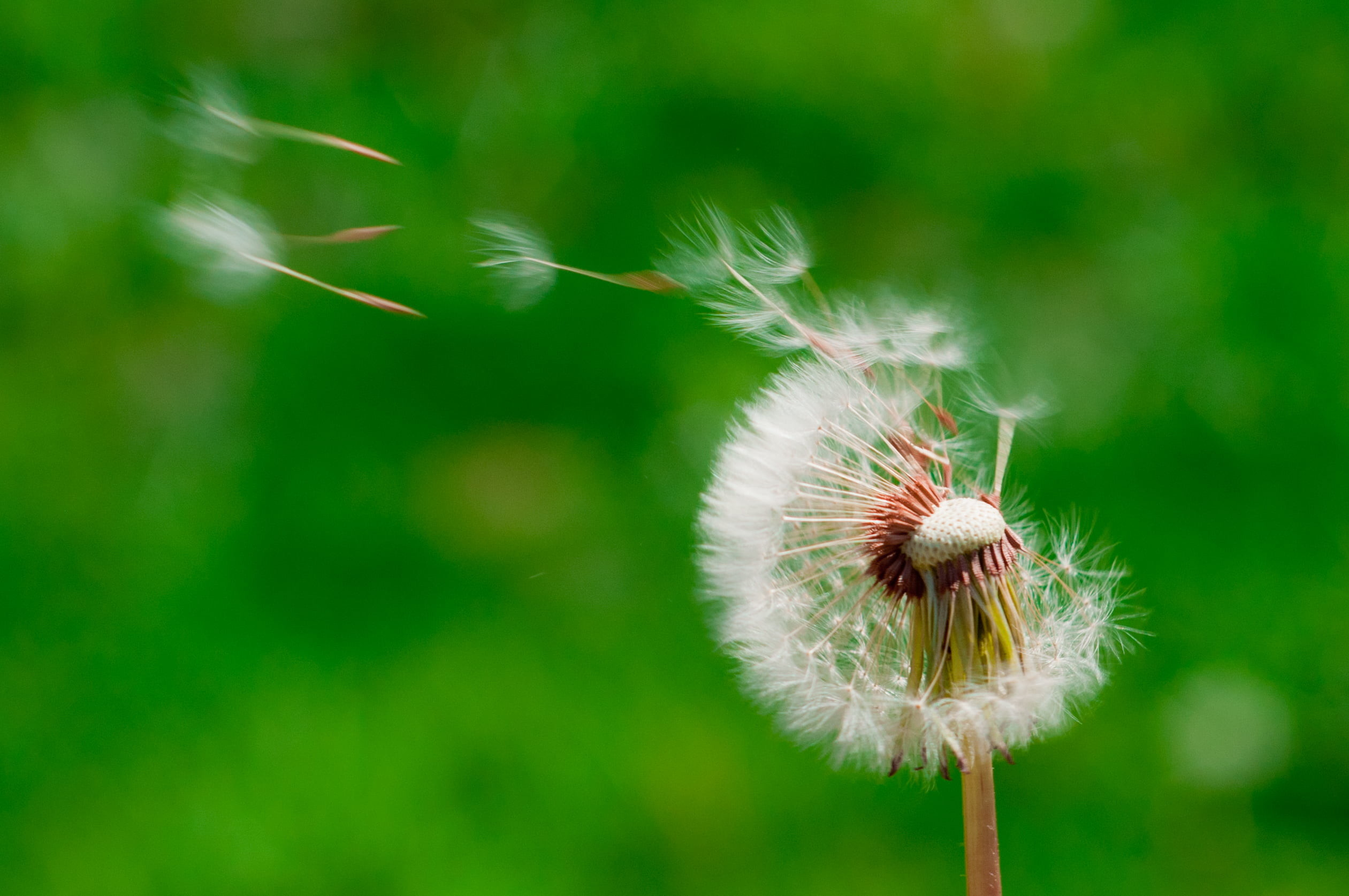 Res: 2521x1674, wind blowing dandelion buds in selective focus photography HD wallpaper