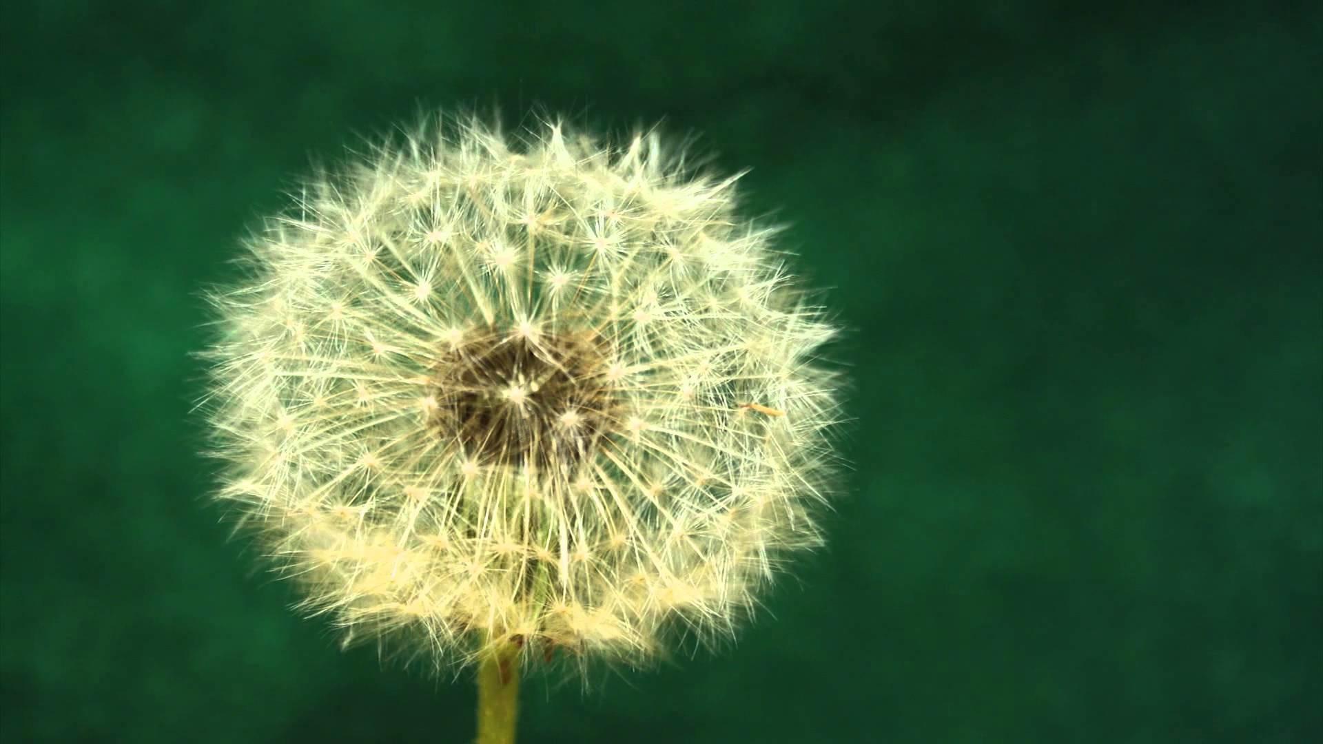Res: 1920x1080, Dandelion seeds blowing