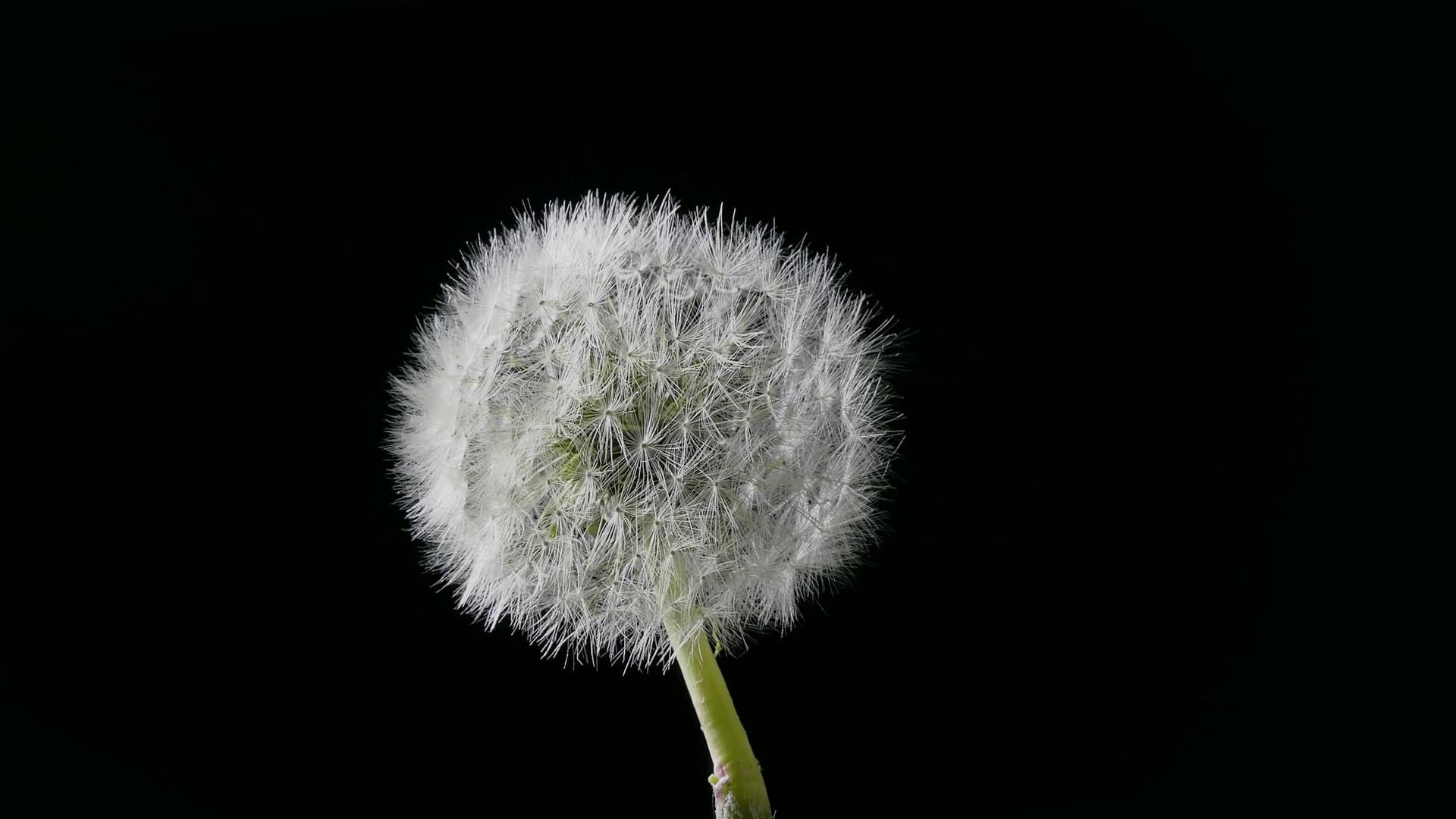 Res: 1920x1080, Dandelion blowing / Dandelion in the wind / Dandelion head. Seeds of  dandelion resisting gusts of air flow. Stock Video Footage - Videoblocks