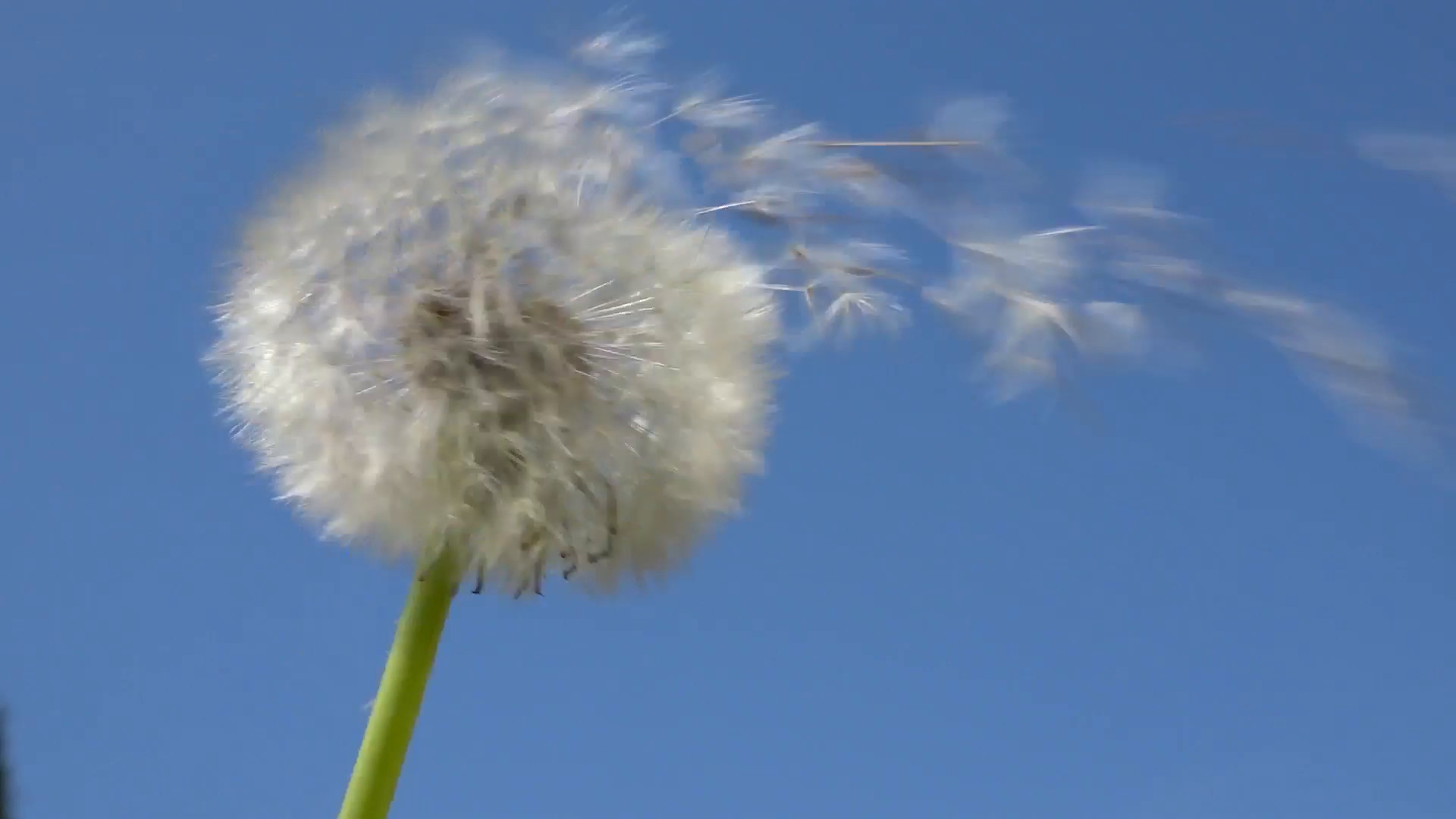 Res: 1920x1080, Blowing on a dandelion head on blue sky background Stock Video Footage -  Videoblocks