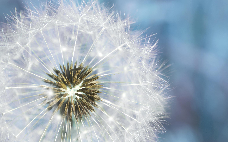 Res: 2880x1800, ... dandelion; Dandelion