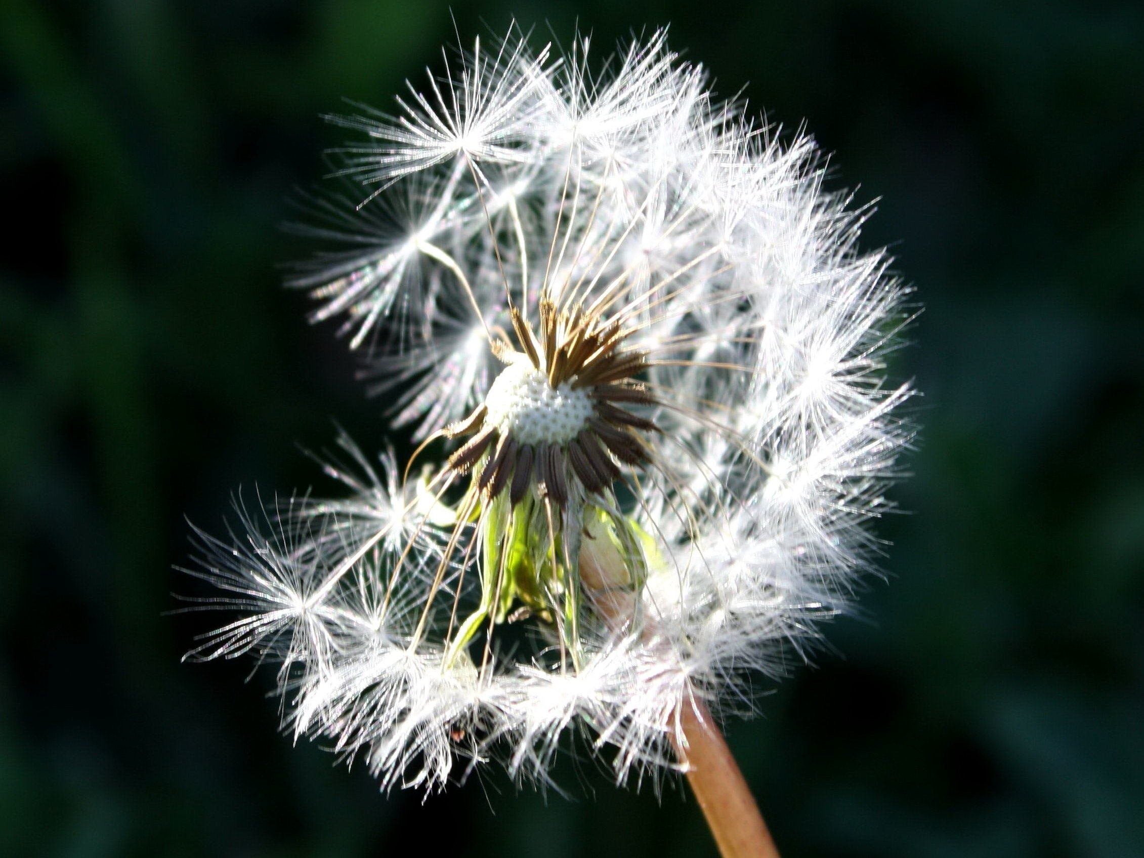 Res: 2261x1695, dandelion, seed, wind blowing, flower