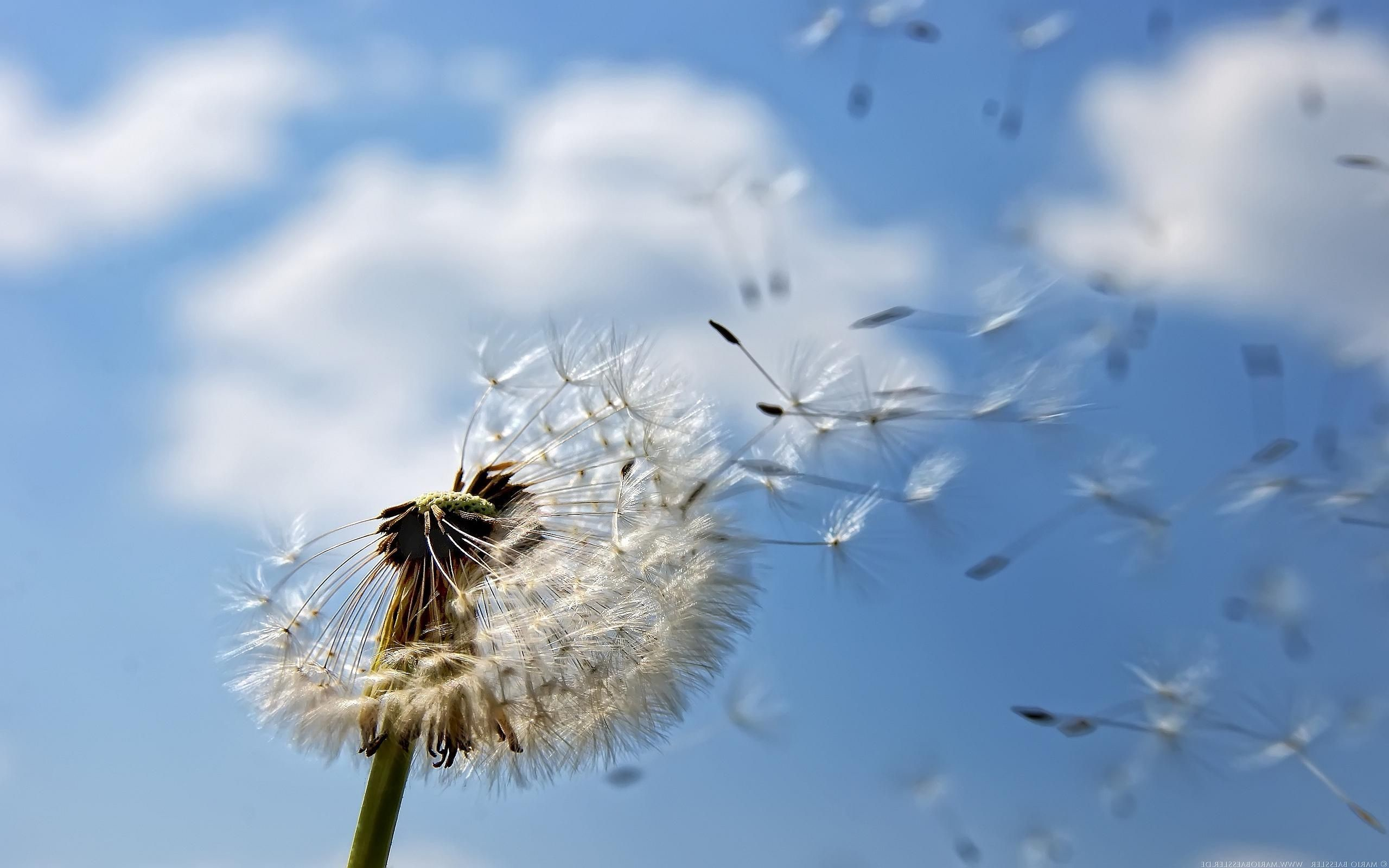 Res: 2560x1600, awesome dandelion seeding wallpaper