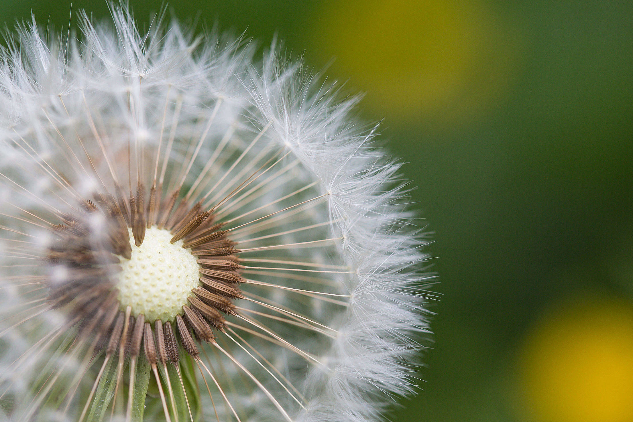 Res: 2210x1474, (click to download) Half-Naked Flower Blowball/Dandelion FREE Stock Photo