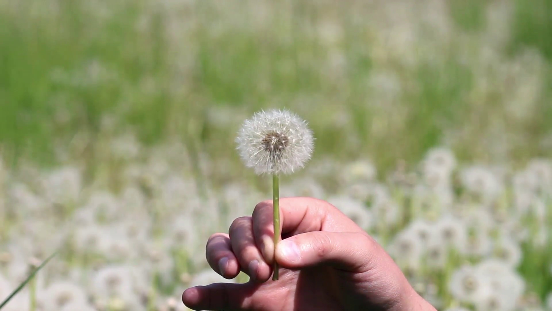 Res: 1920x1080, Man is blowing on dandelion on sunny day Stock Video Footage - Videoblocks