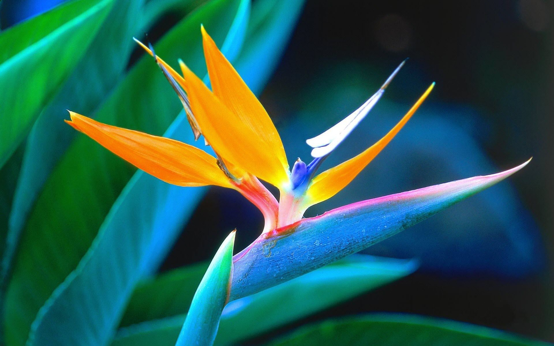 Res: 1920x1200, Tropical Flowers Wallpapers | HD Wallpapers Pulse