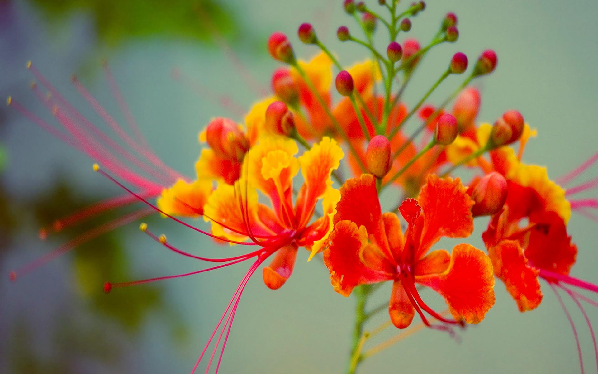 Res: 1920x1200, Exotic Orange Flower Wallpaper