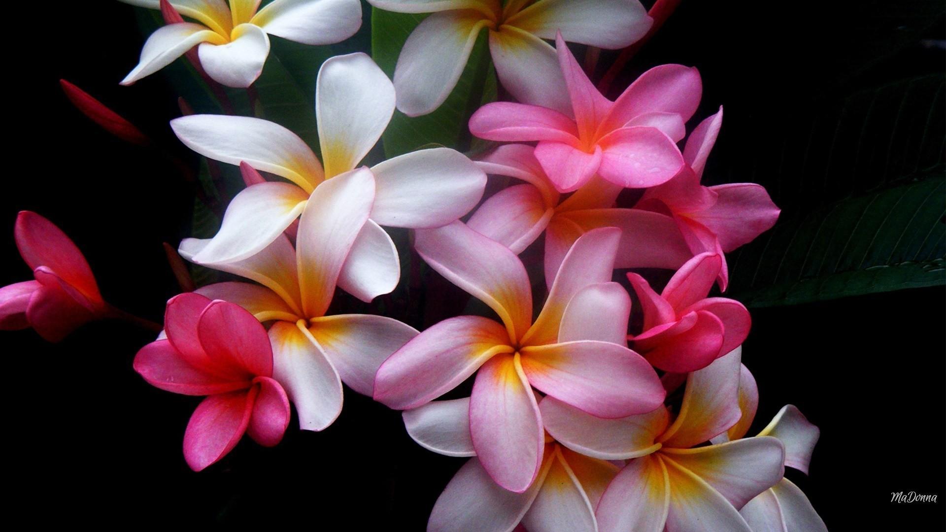 Res: 1920x1080, tropical flower wallpaper #174368