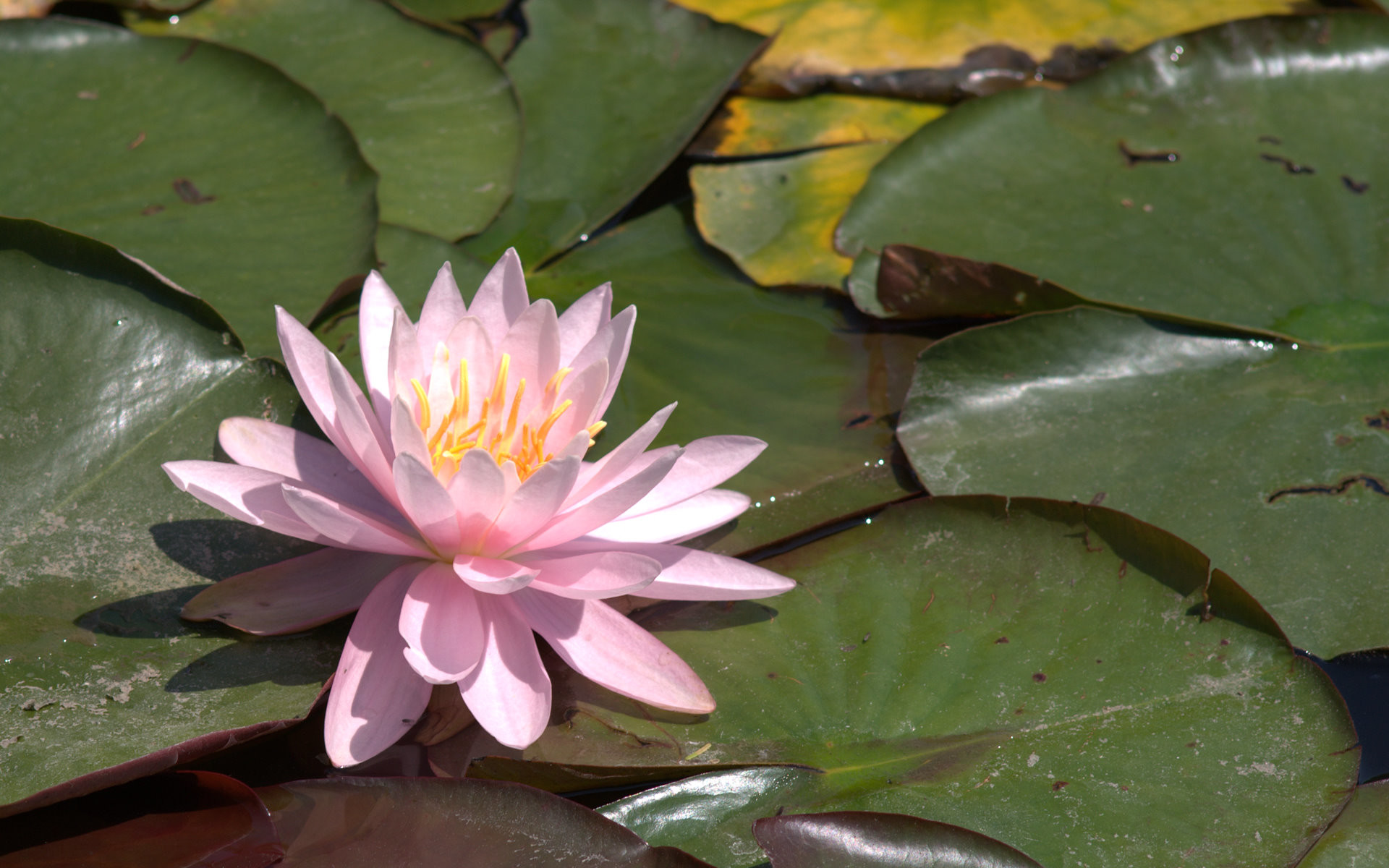 Res: 1920x1200, pink water lily wallpaper