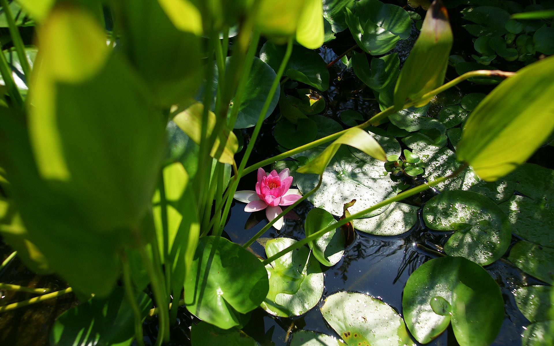 Res: 1920x1202, pink lotus and green pond