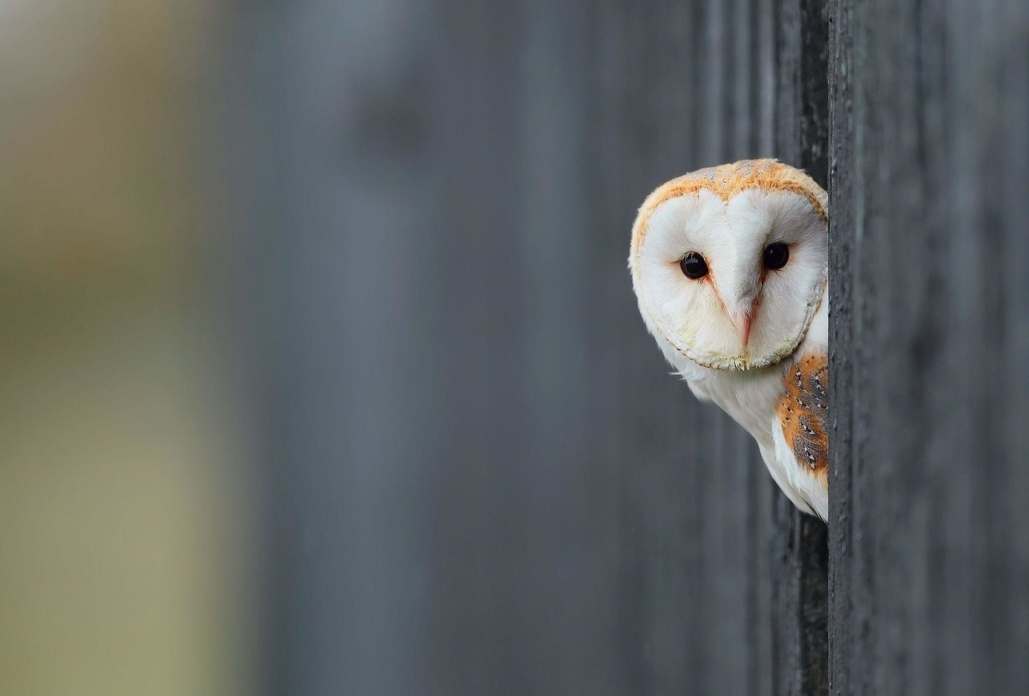 """Res: 2048x1385,  White Owl Wallpapers""""> · Download · 1920x1080 ..."""