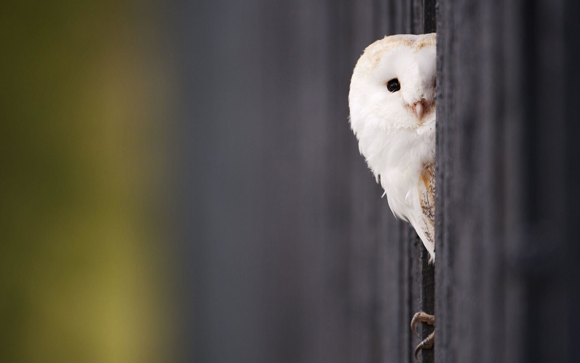Res: 1920x1200, White Owl Wallpapers | HD Wallpapers