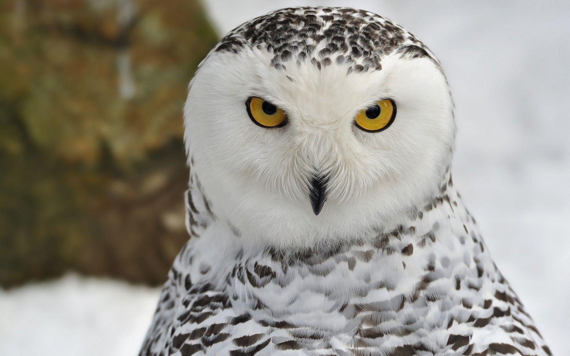 Res: 1920x1200, 2048x1689 Snowy Owl clipart hoot #4