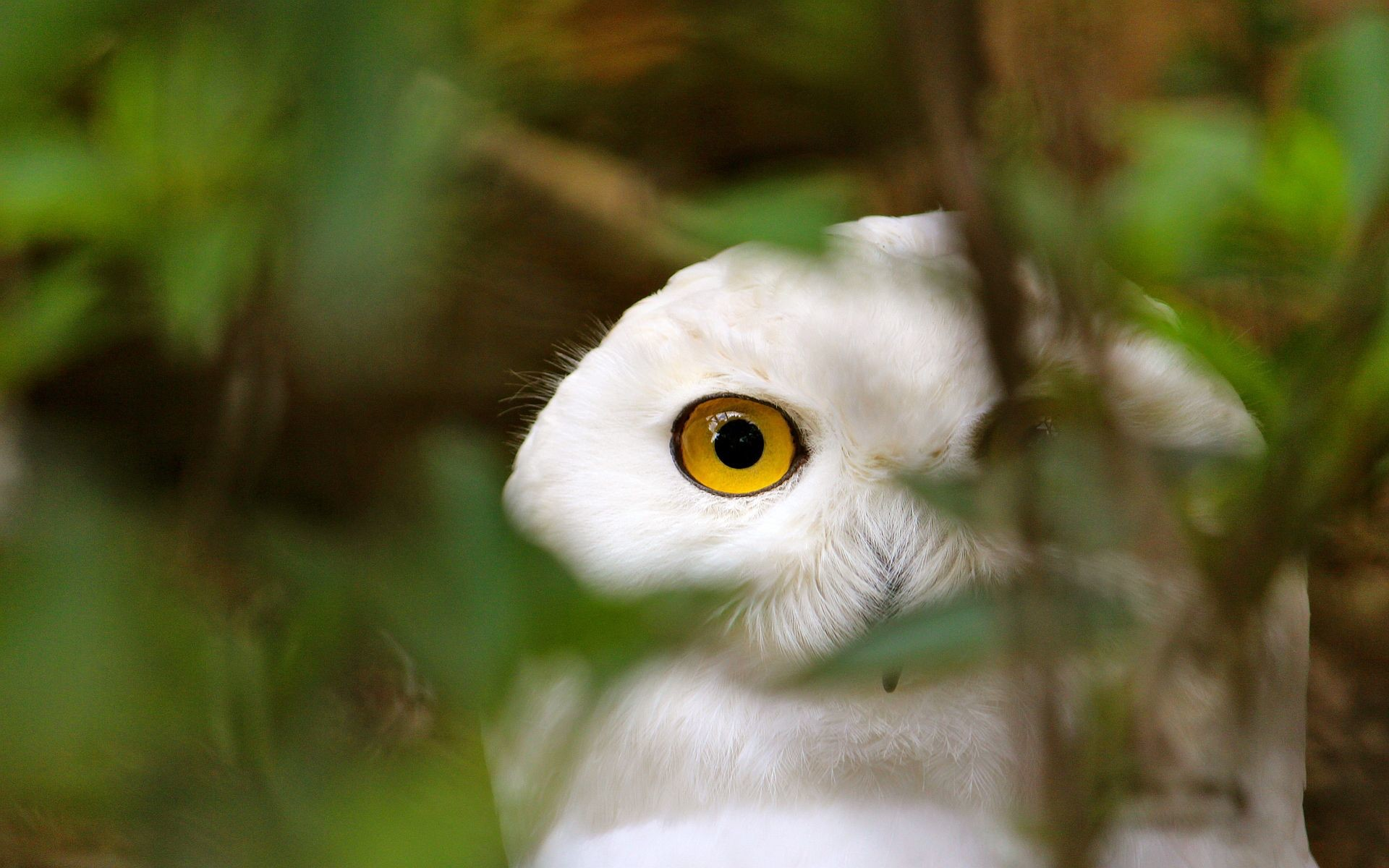 Res: 1920x1200, Ultra HD white owl watching Ultra HD Wallpapers Pinterest