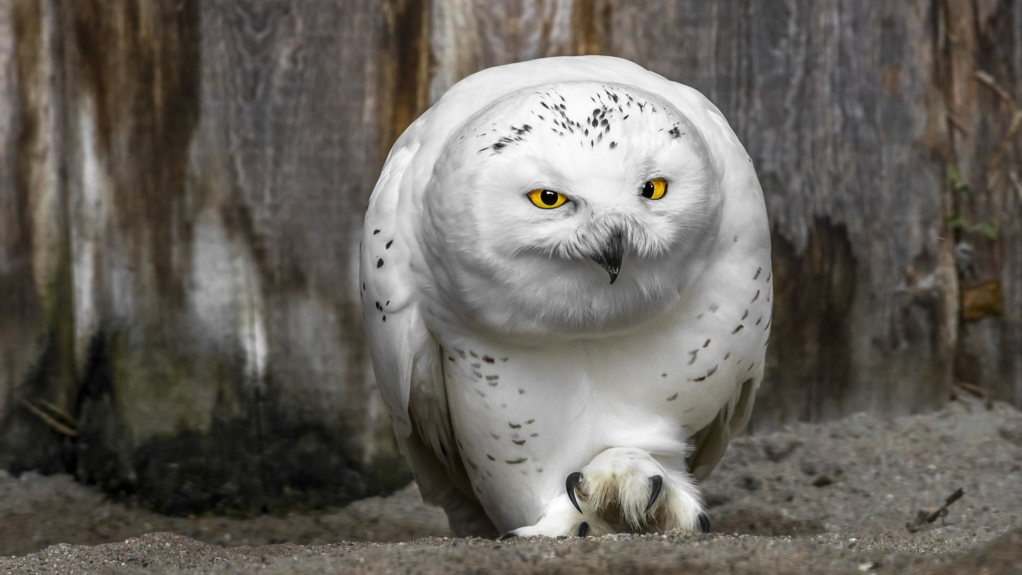 Res: 2048x1152, White Owl Pictures
