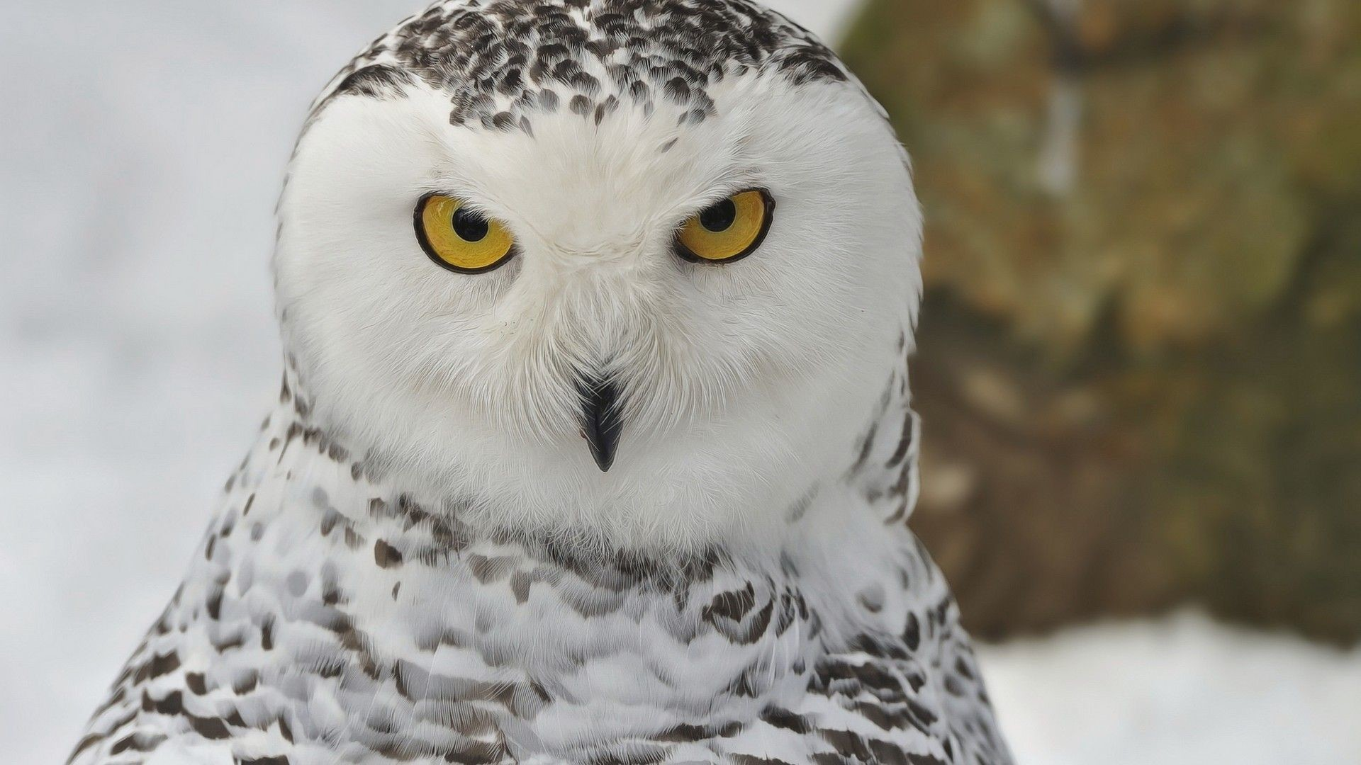 Res: 1920x1080, Snowy Owl Wallpapers HD Download
