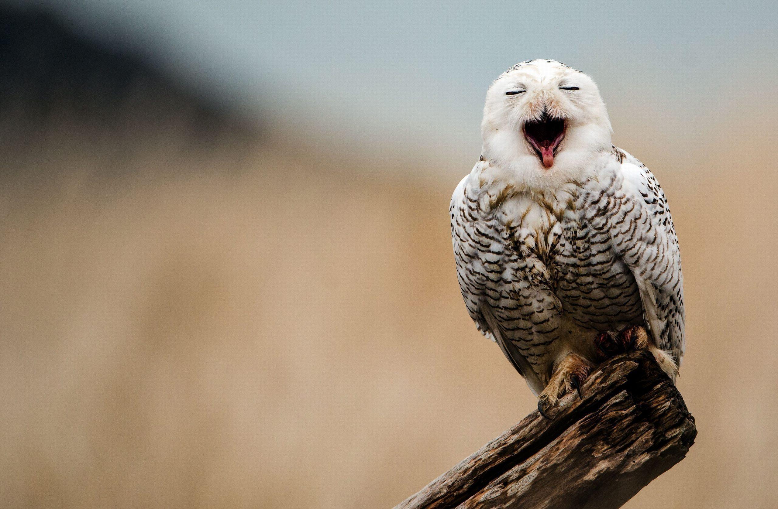 Res: 2560x1676, white owl wallpaper #849224