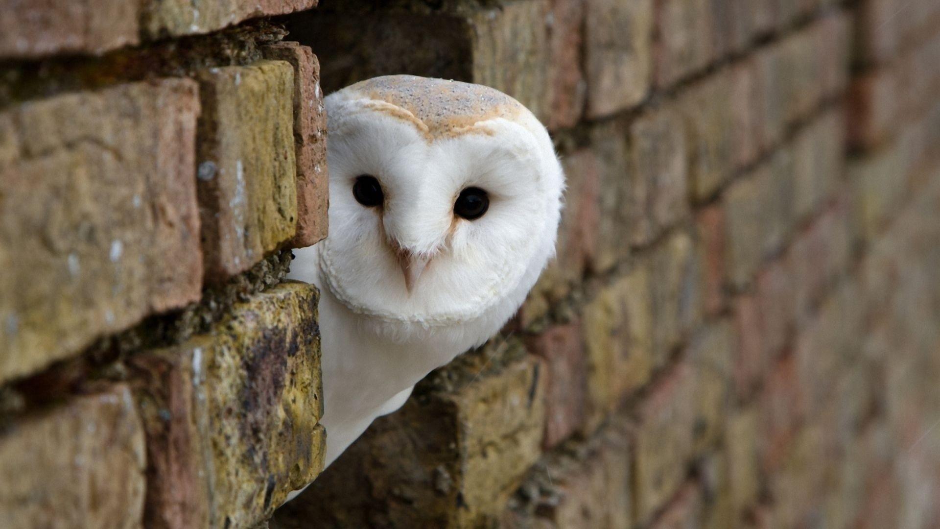 Res: 1920x1080, White Owl Wallpaper 16 - 1920 X 1080