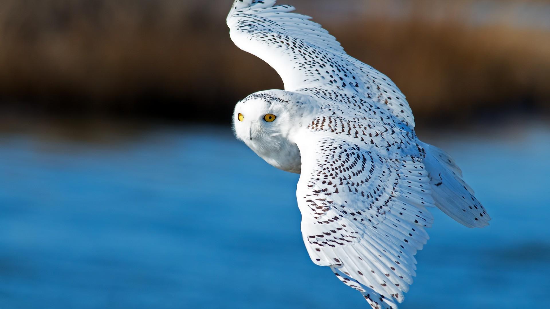 Res: 1920x1080, Snow Owl White Animals Wallpaper