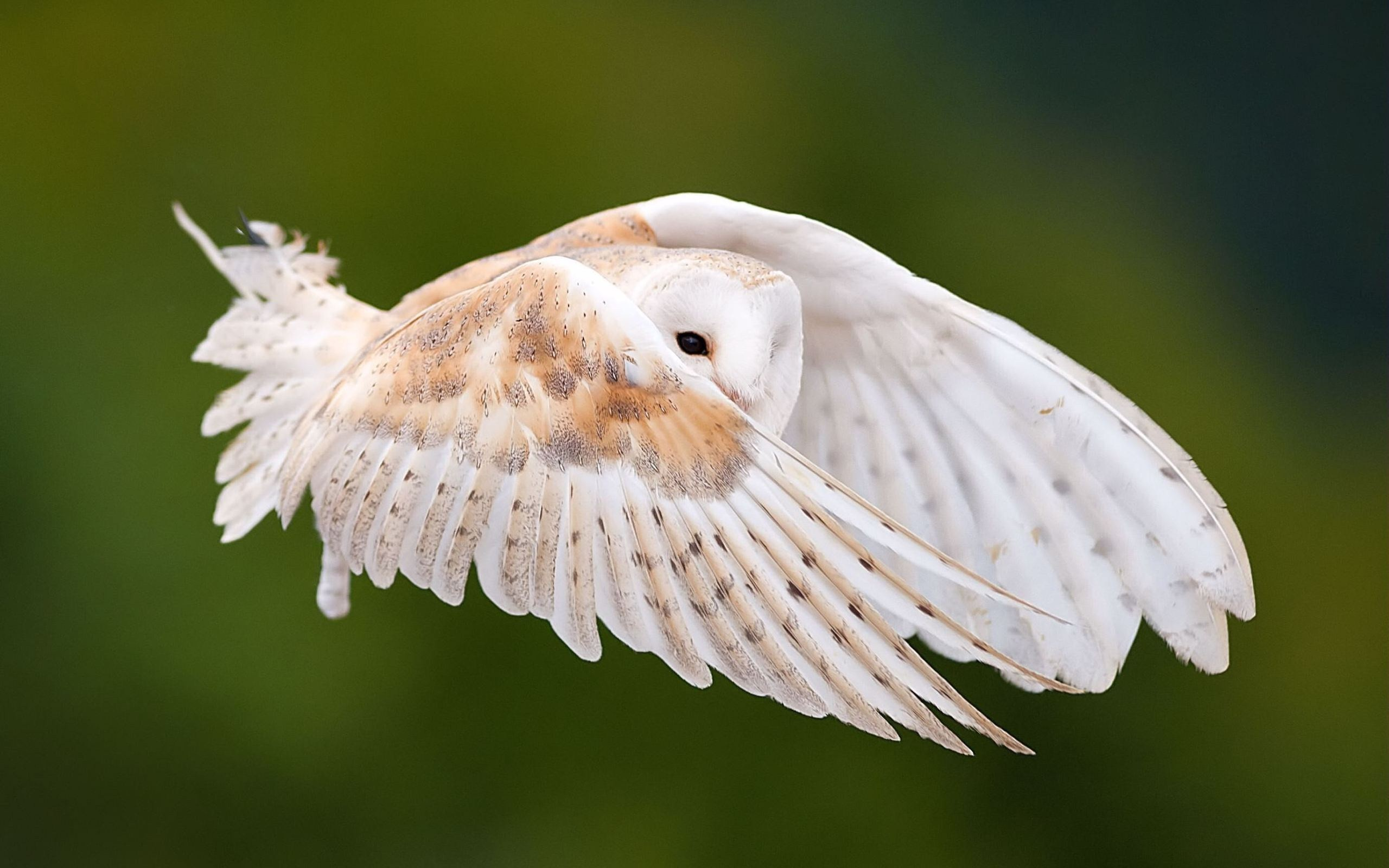 Res: 2560x1600, white owl wallpapers hd free download mac pictures pc