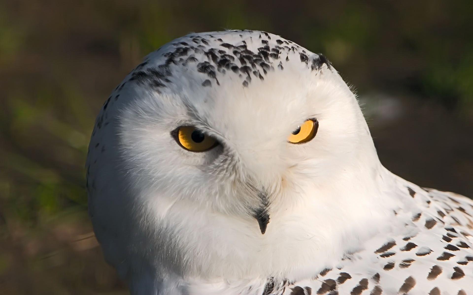 Res: 1920x1200, Bild: White Owl wallpapers and stock photos. Â«