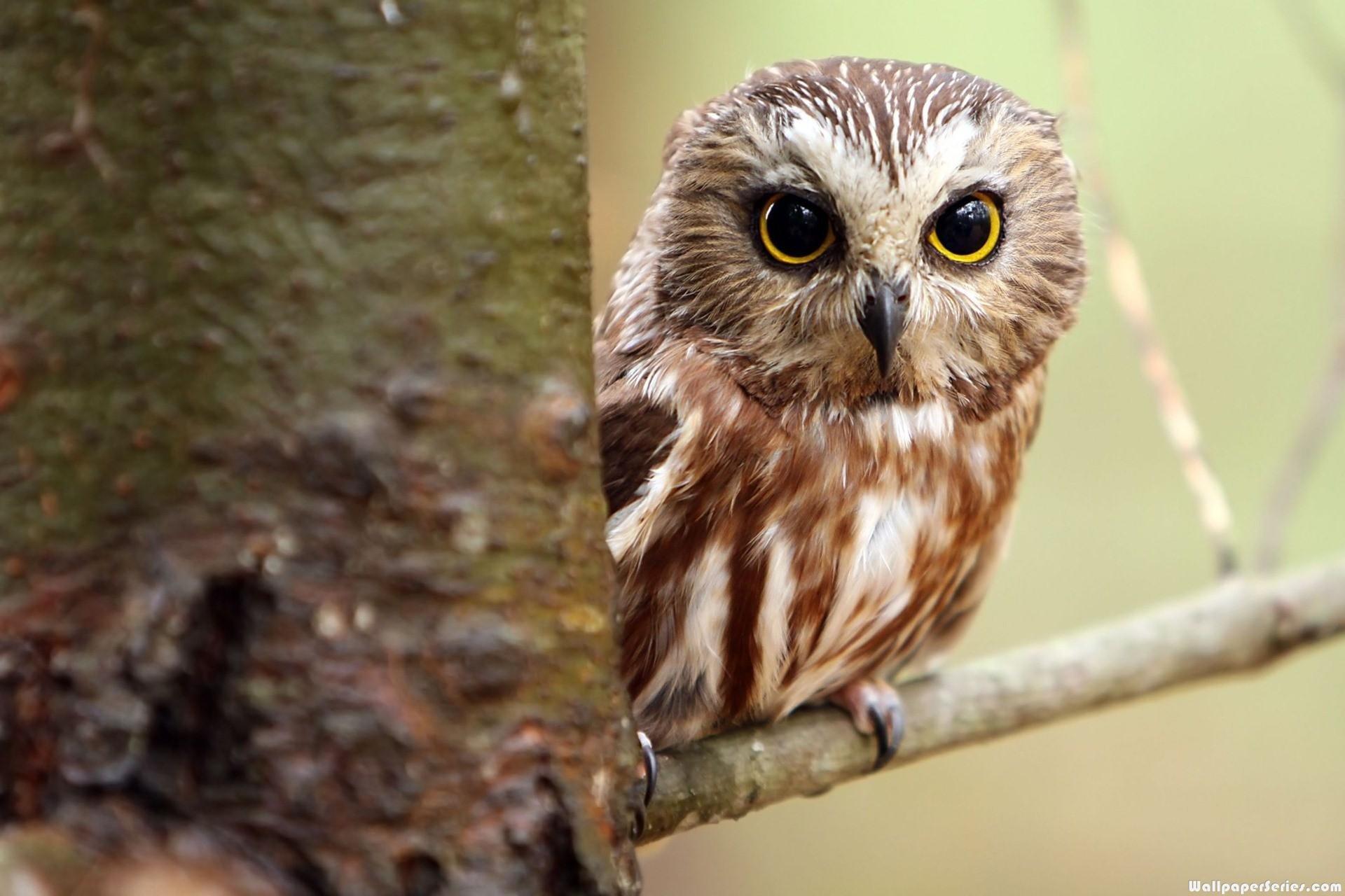 Res: 1920x1280, white owl wallpaper #901572