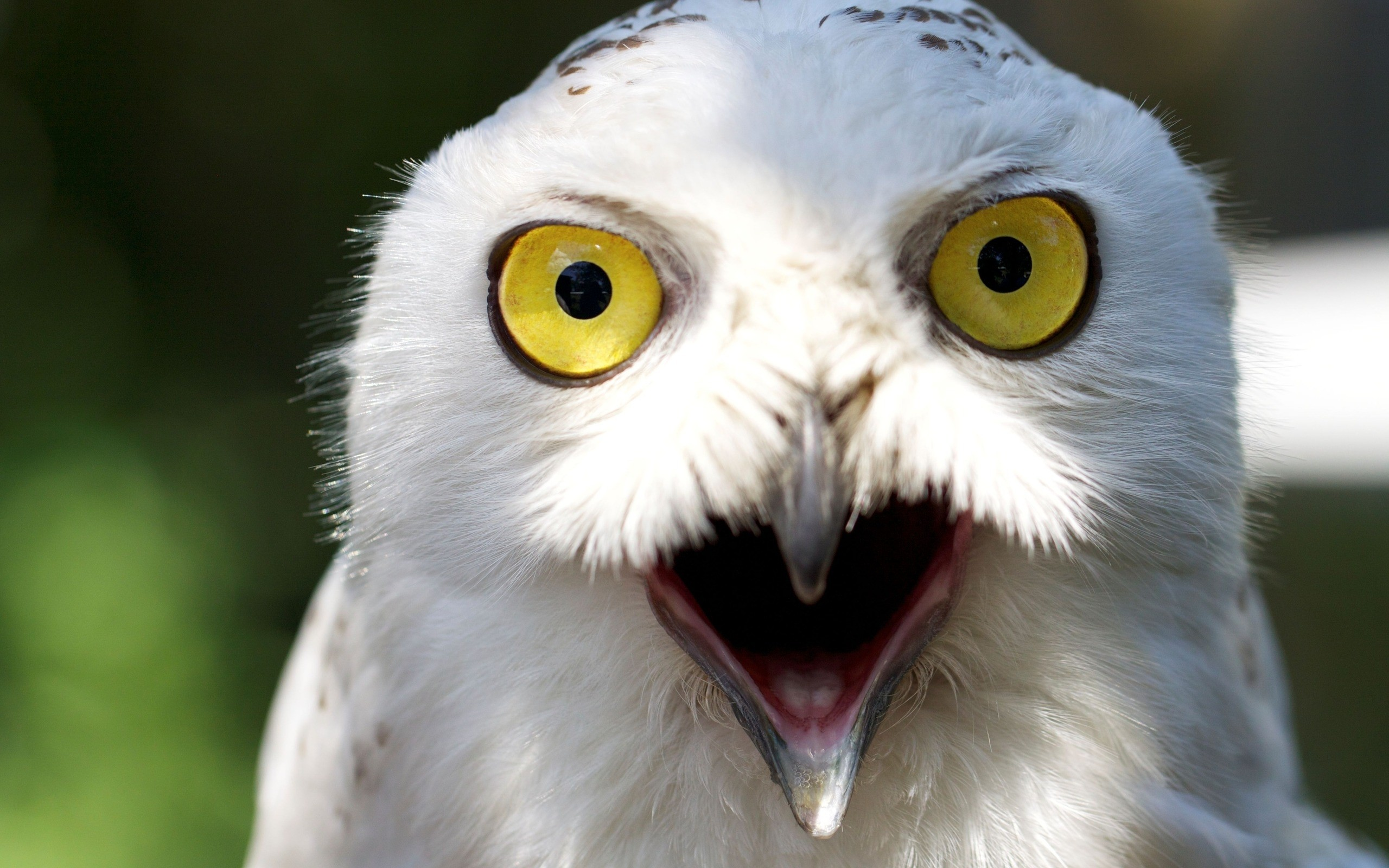 Res: 2560x1600, White owl wallpapers and images wallpapers, pictures, photos