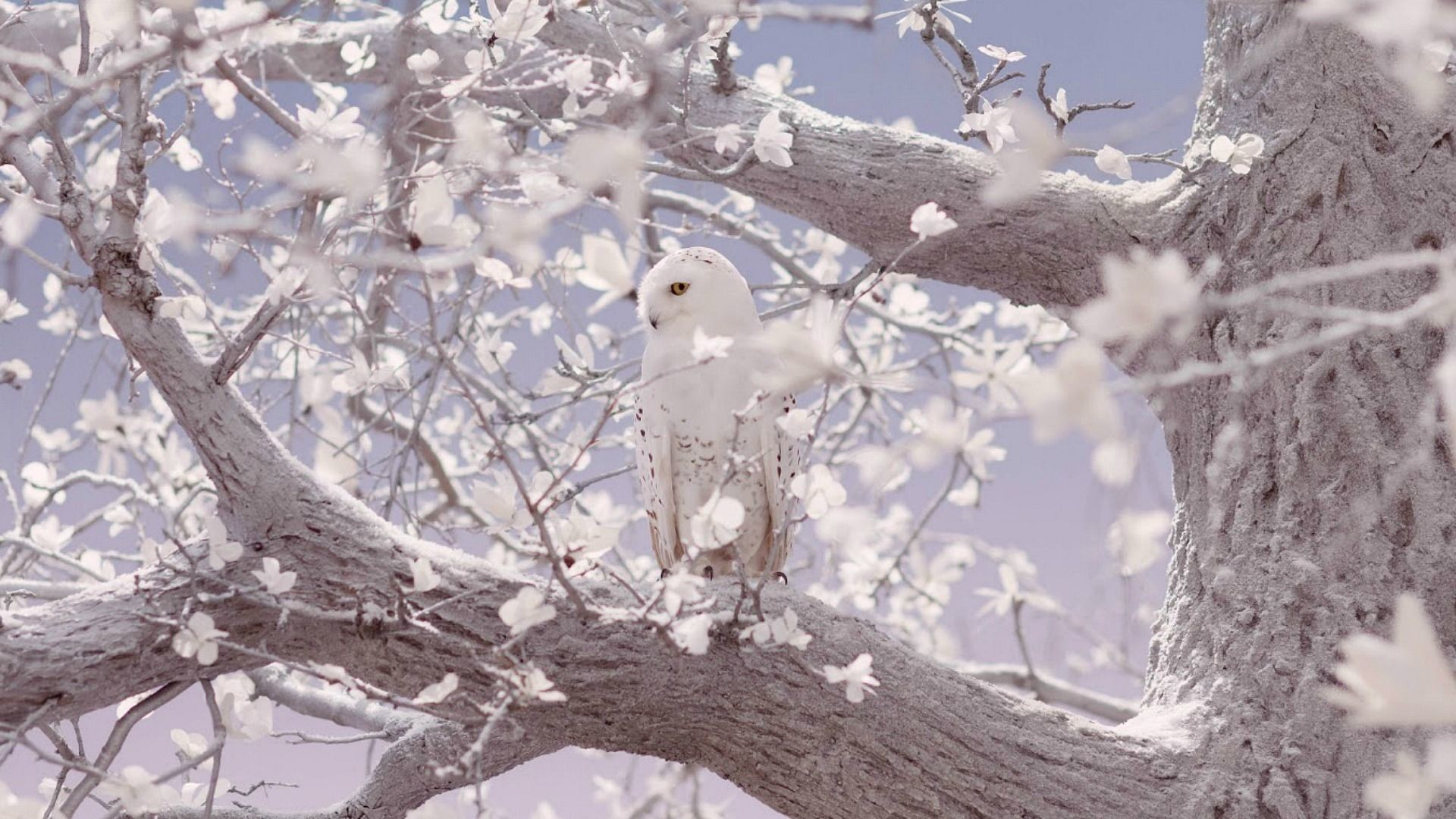 Res: 1920x1080, 1920x1200 White Owl Wallpapers 30382 1920x1200 px ~ HDWallSource.com.  1920x1200 White Owl Wallpapers ...