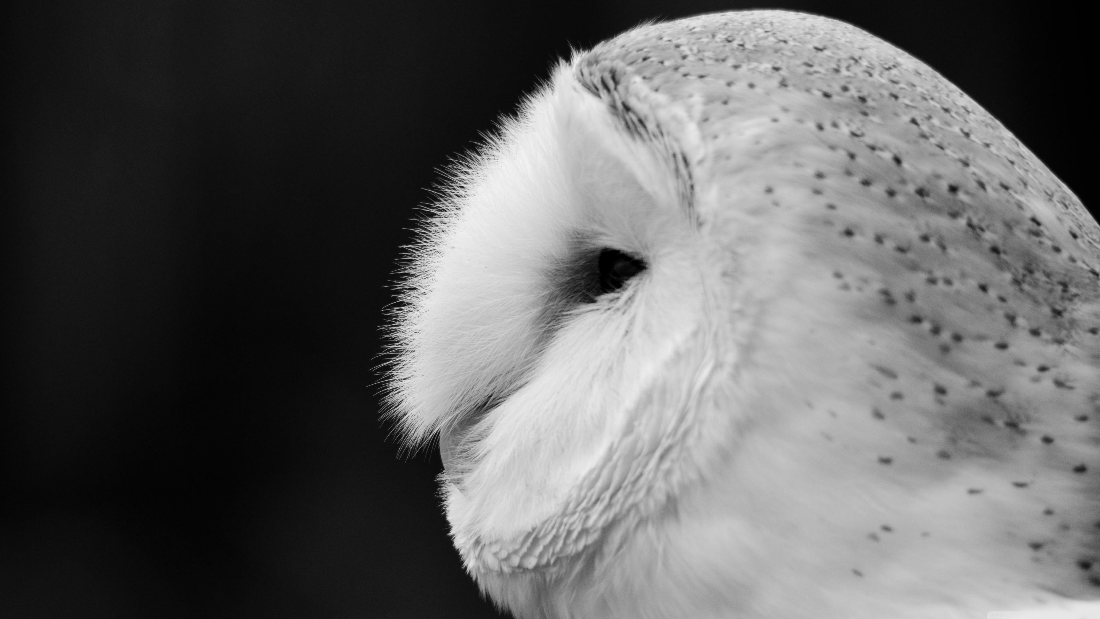 Res: 3840x2160, 4k Closeup White Barn Owl Wallpaper for desktop and mobile phones.