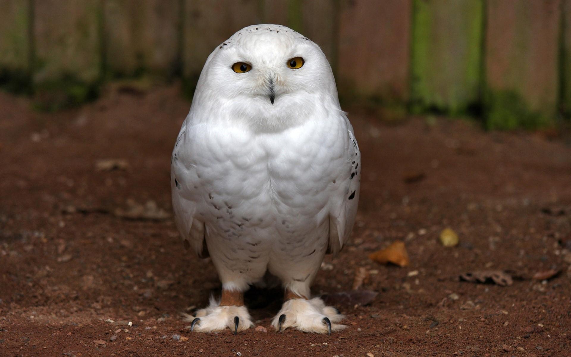 Res: 1920x1200, Cute White Owl Wallpaper