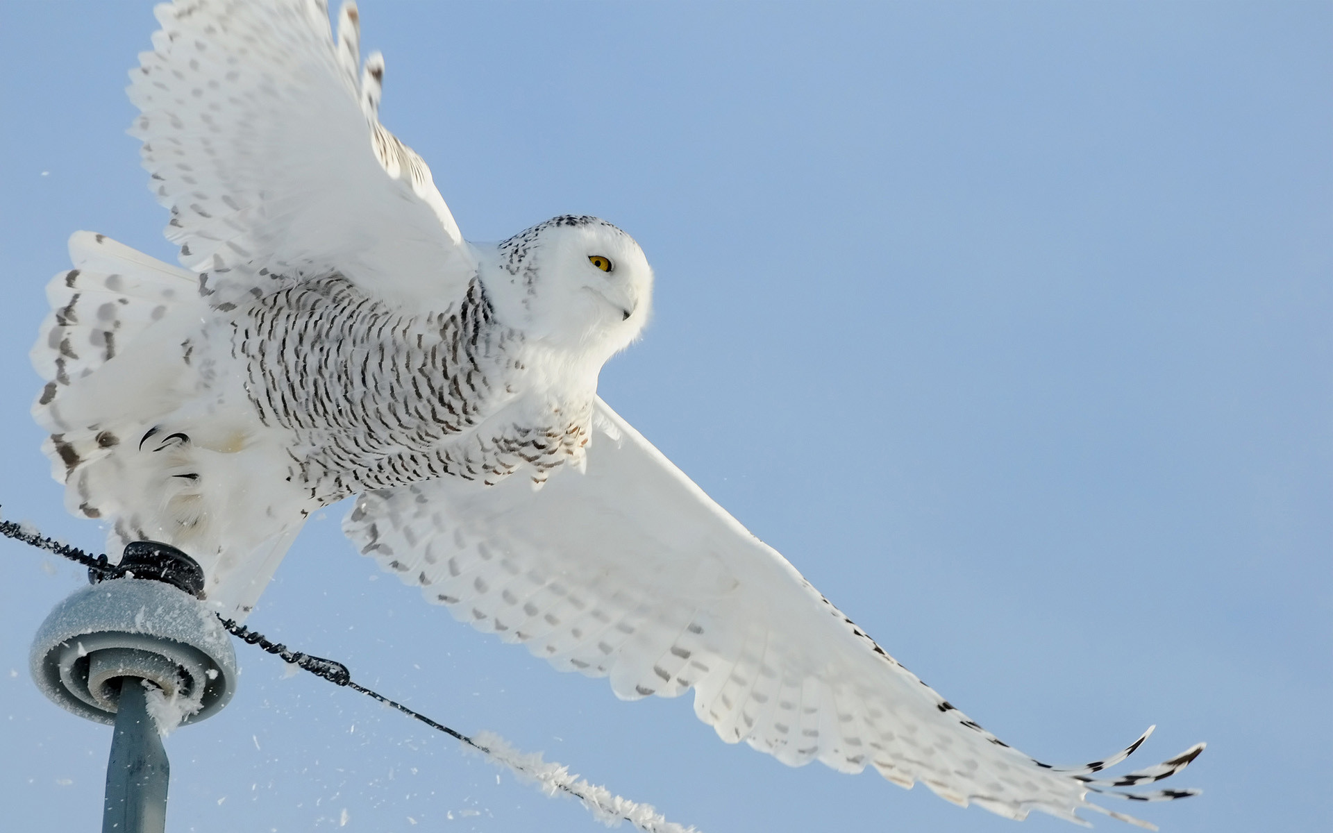 Res: 1920x1200, Snowy Owl Wallpapers HD Wallpapers Early