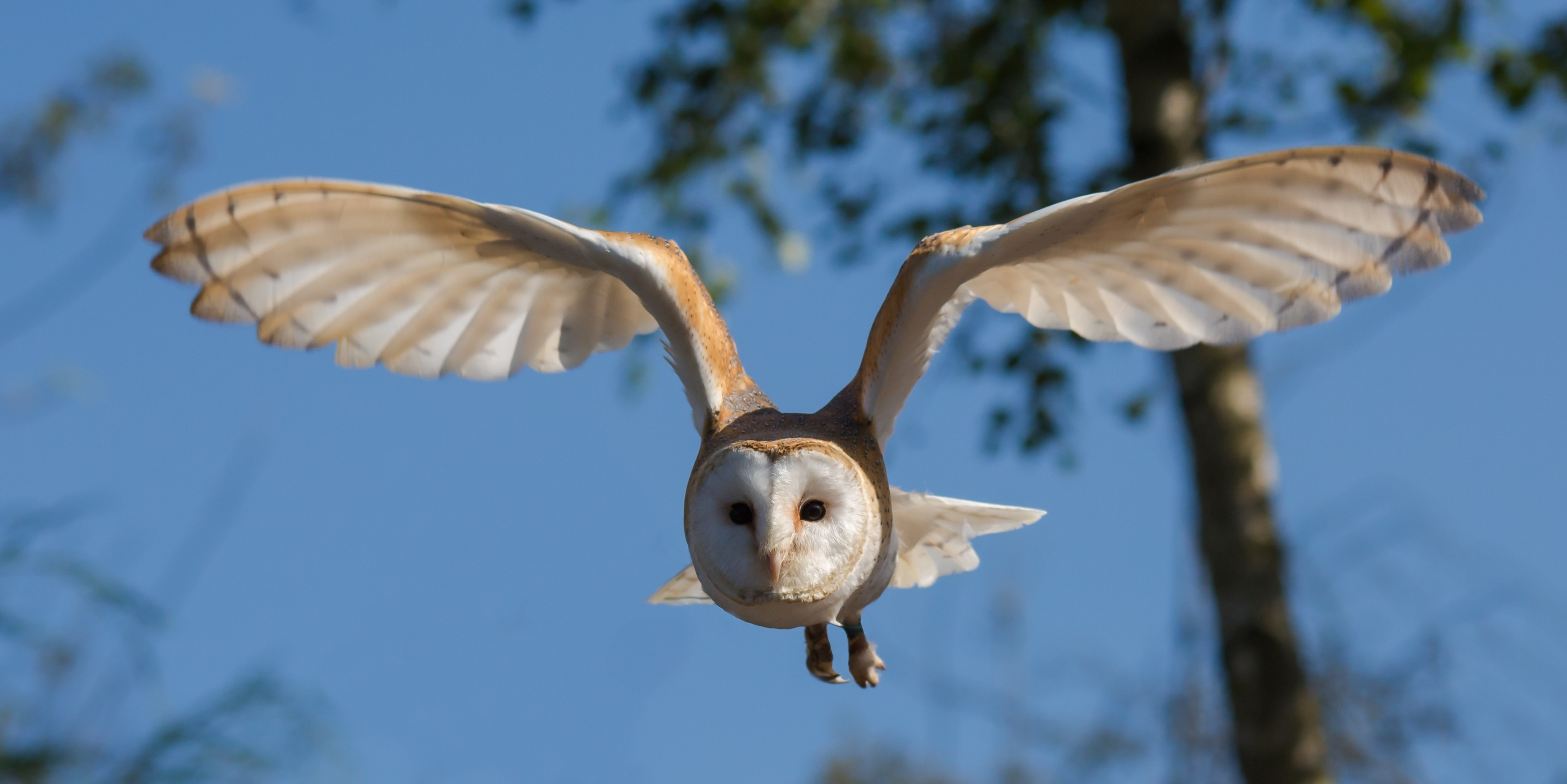 Res: 3840x1922, ... Awesome flying white owl 4k wallpaper widescreen resolution