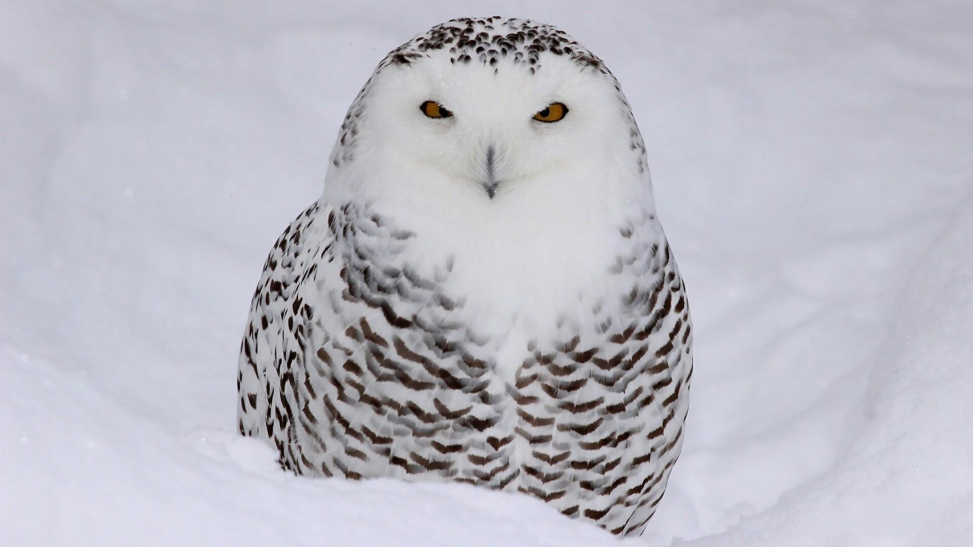 Res: 1920x1080, 1920x1200 white owl hd wallpaper pictures images hd desktop wallpapers  windows 4k 1920×1200 Wallpaper HD