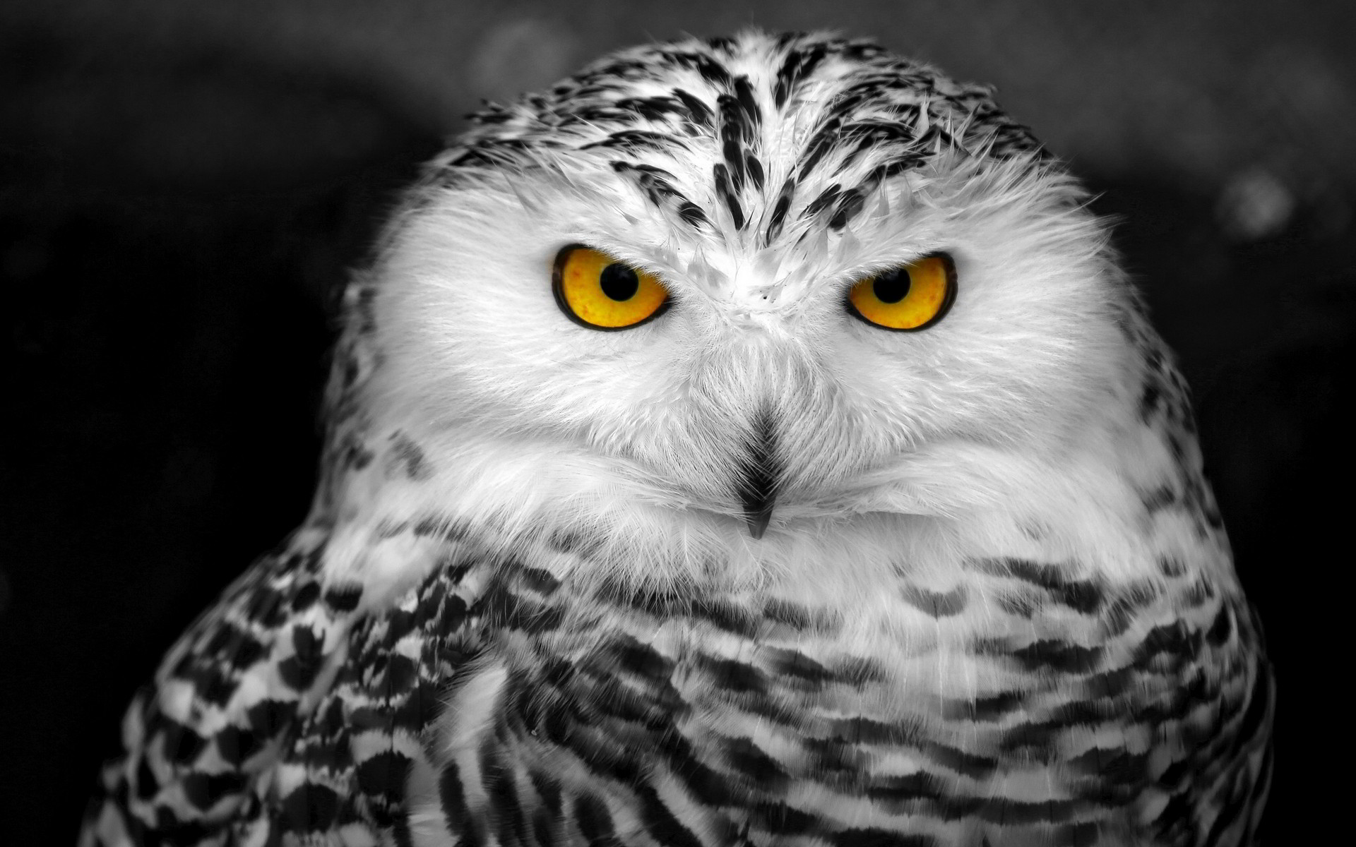 Res: 1920x1200, Snowy Owl
