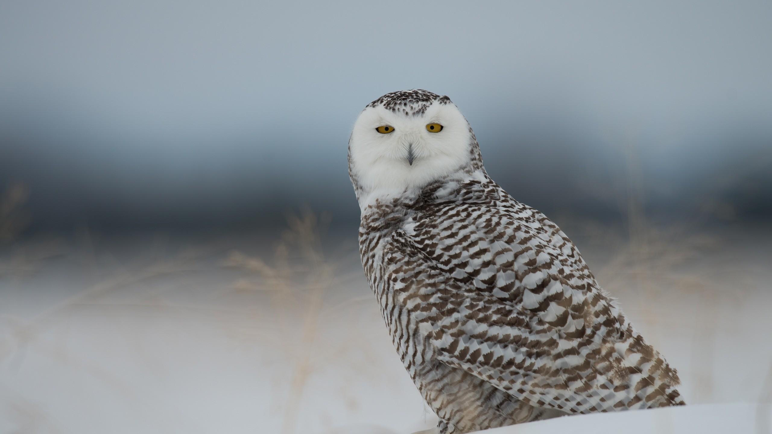 Res: 2560x1440,  Wallpaper snowy owl, owl, predator, bird, snow