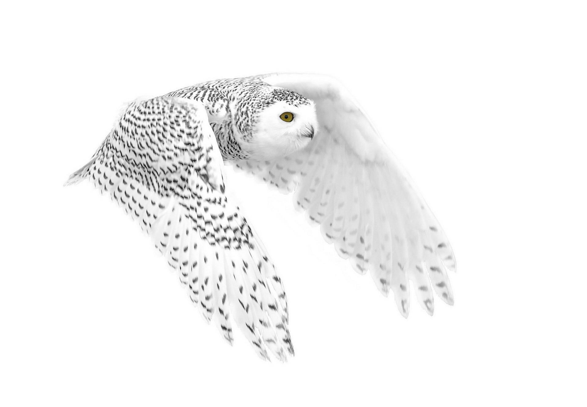 Res: 1920x1331, Snowy Owl Wallpaper 25 - 1920 X 1331