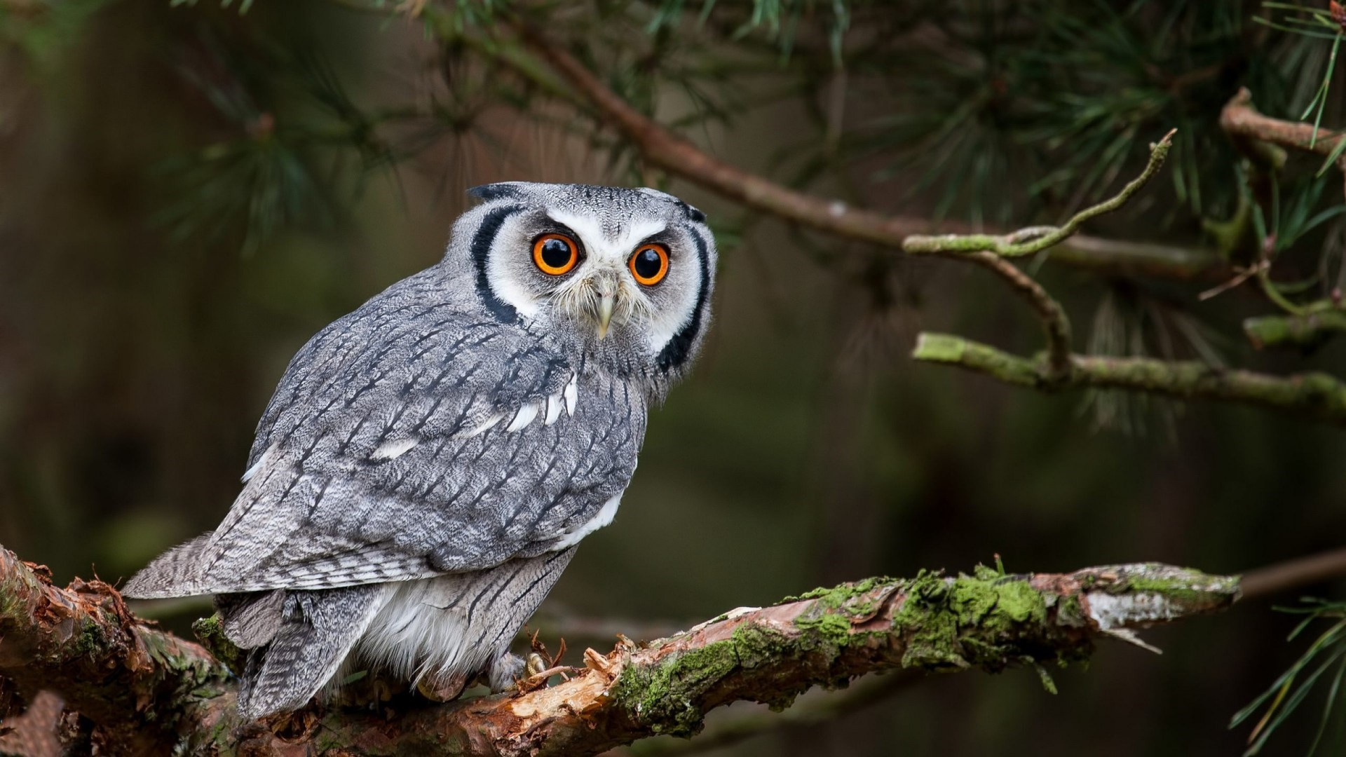Res: 1920x1080, White Owl Backgrounds For desktop