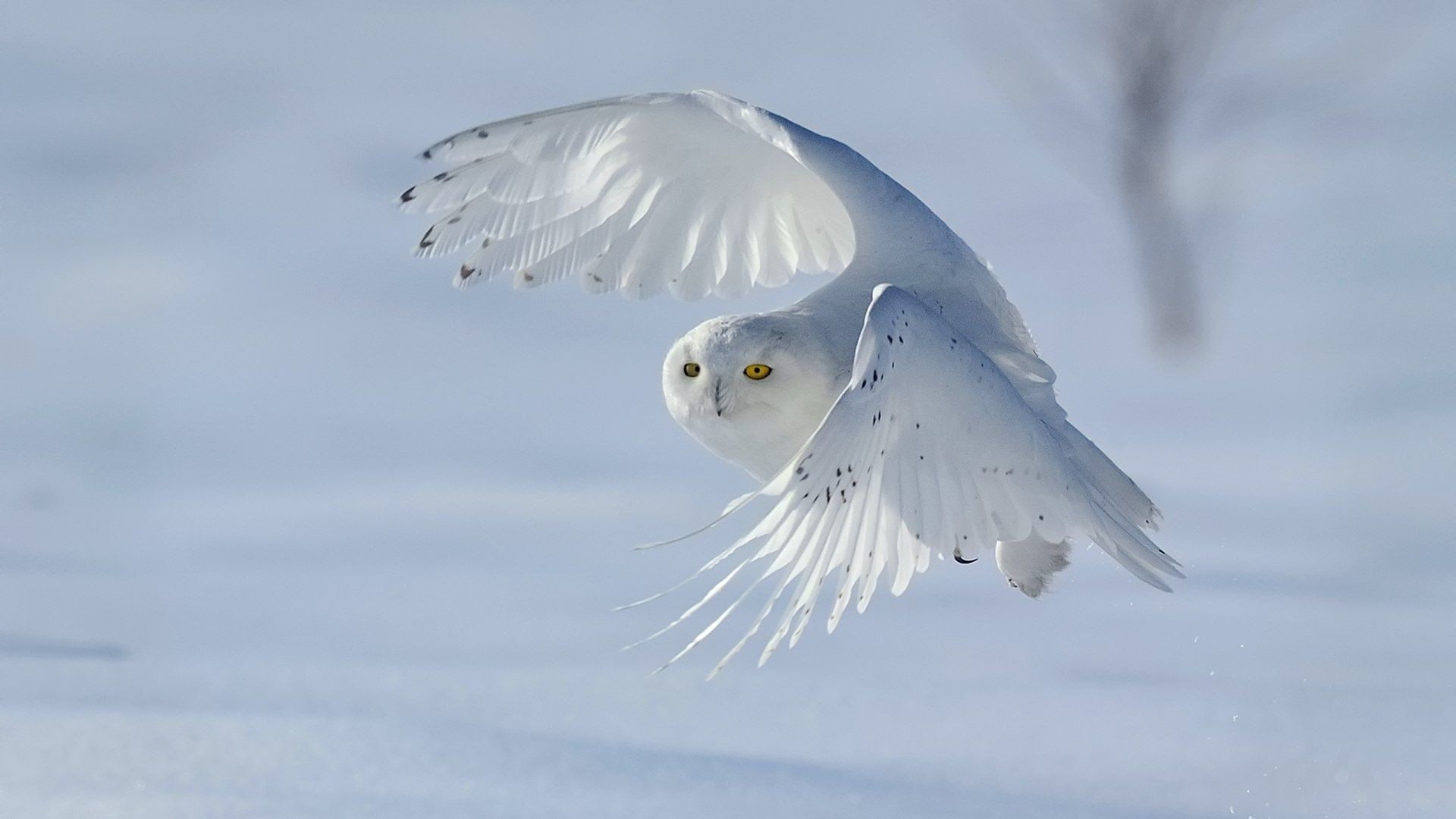 """Res: 1920x1080, 2560x1600 White Owl Wallpaper (65+ images)"""">"""