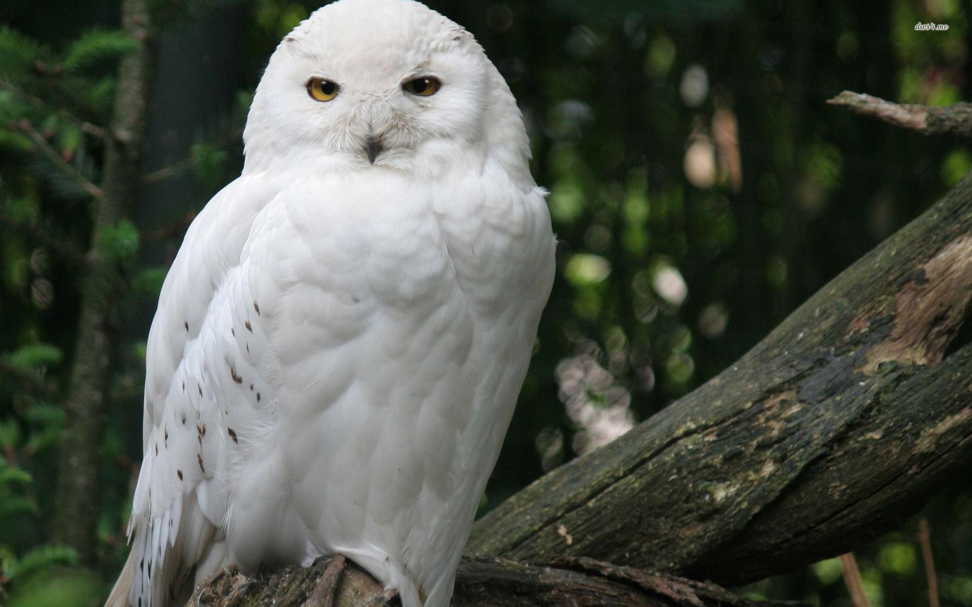 Res: 1920x1200, ... Snowy owl wallpaper  ...