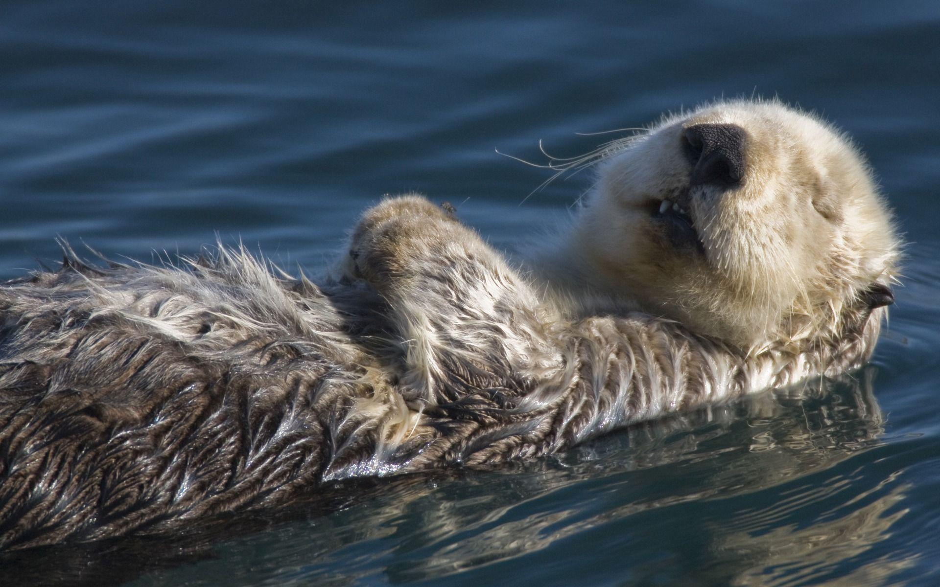 Res: 1920x1200, Sea Otter HD Wallpaper
