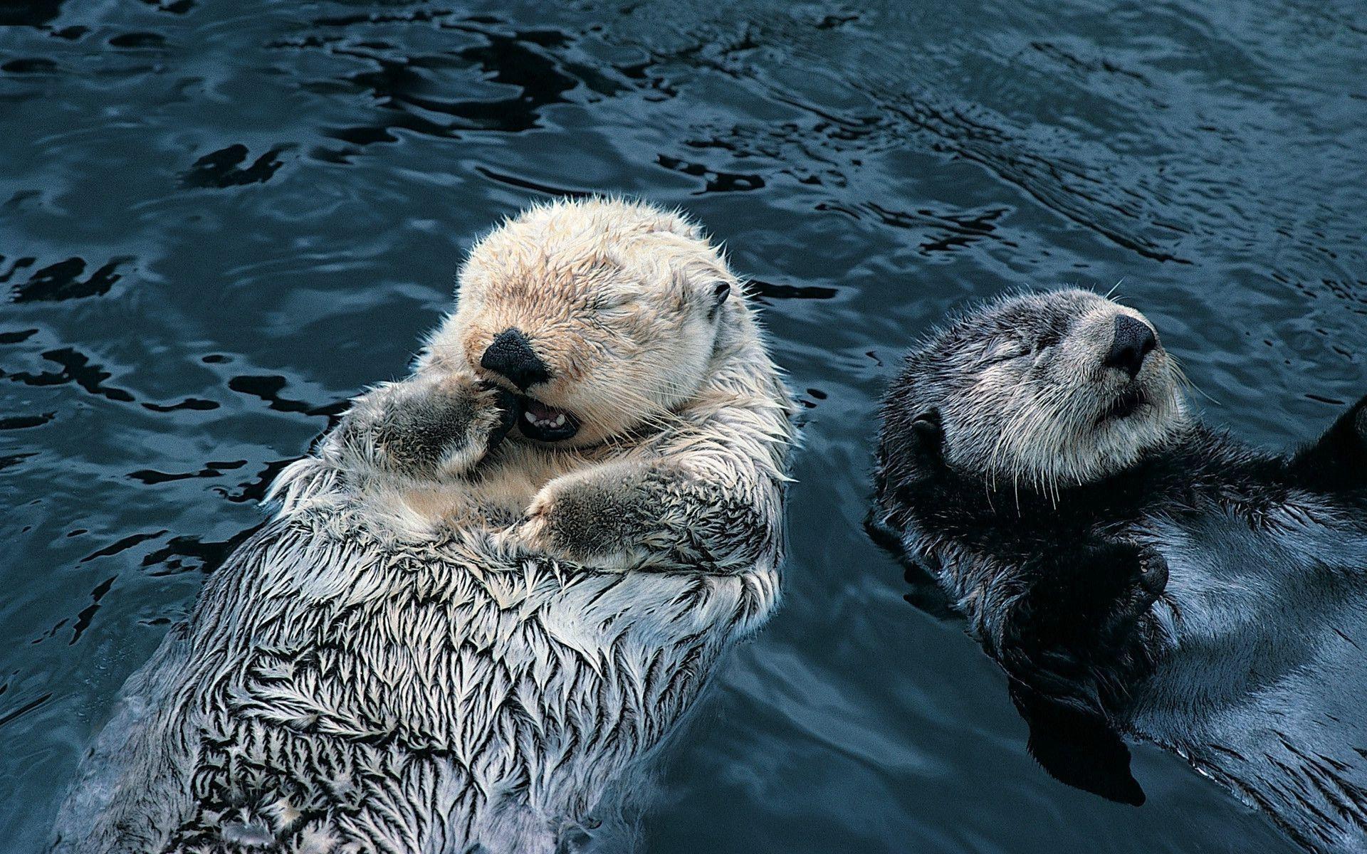 Res: 1920x1200, Sea Otter Wallpaper