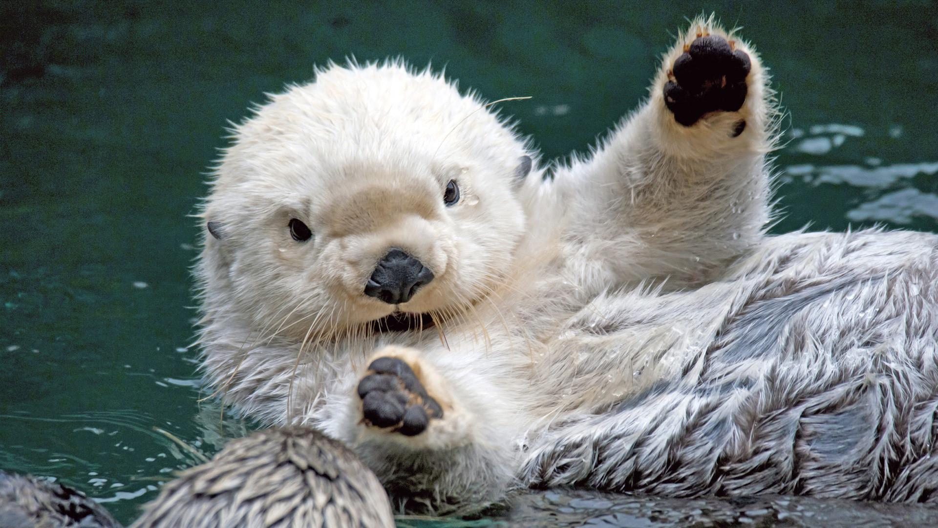 Res: 1920x1080, Sea Otter