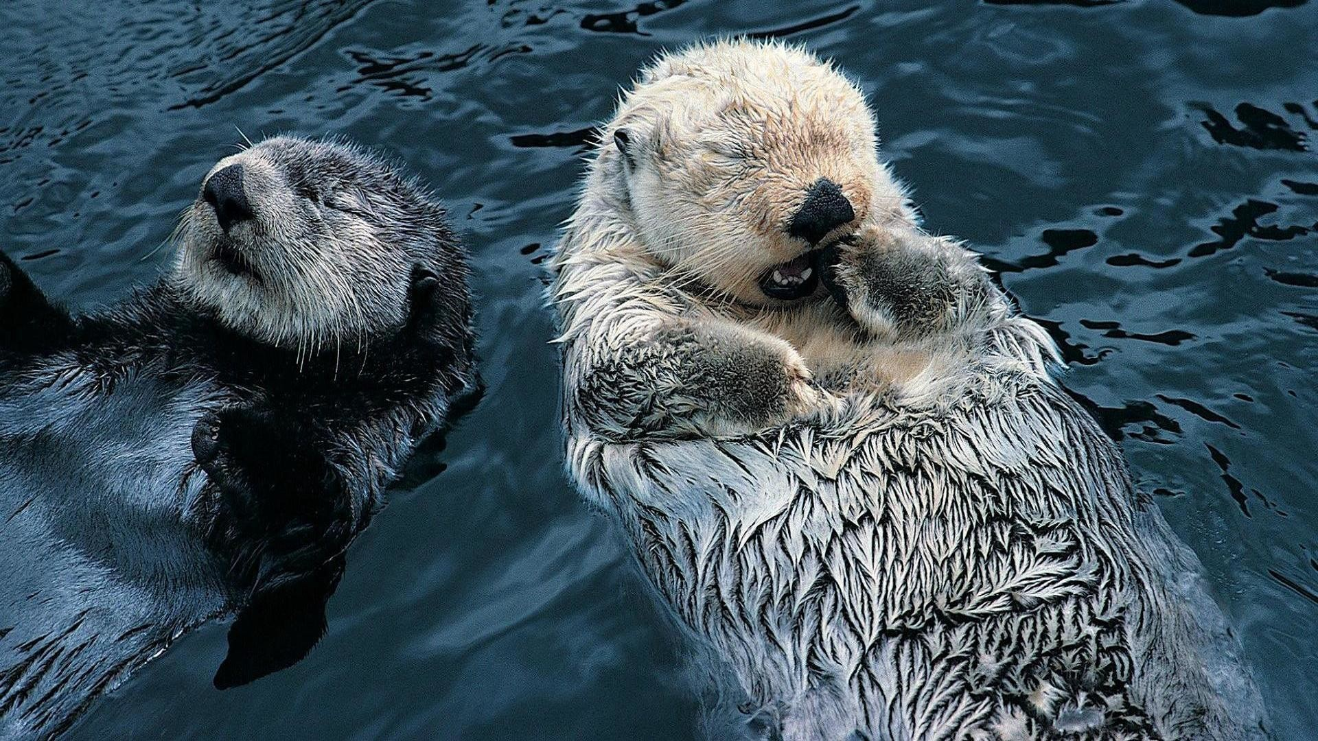 Res: 1920x1080, Cute Sea Otter Wallpaper - Viewing Gallery
