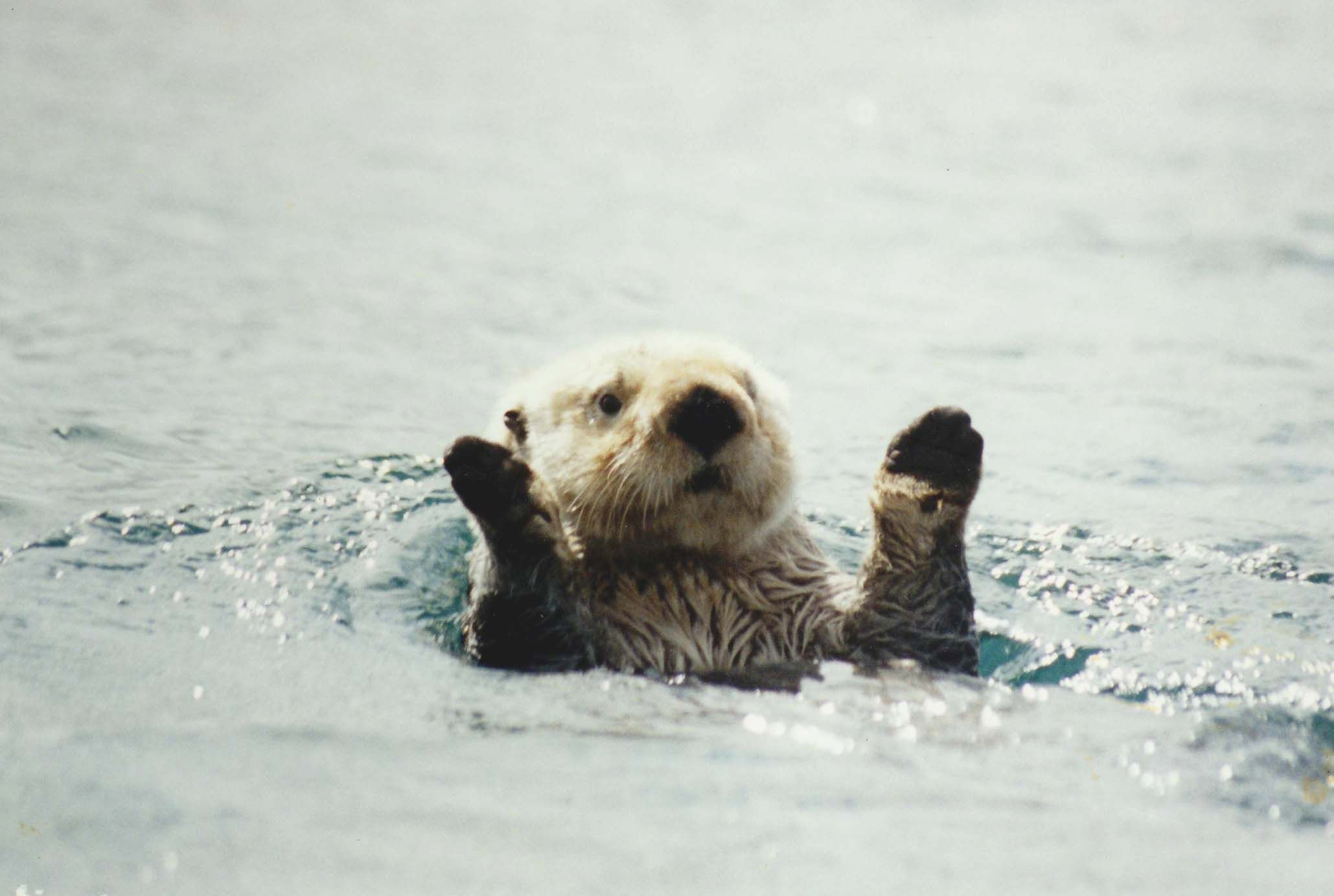 Res: 2059x1384, Baby Sea Otters, Laptop Backgrounds, Macbook Wallpaper, Otter Love